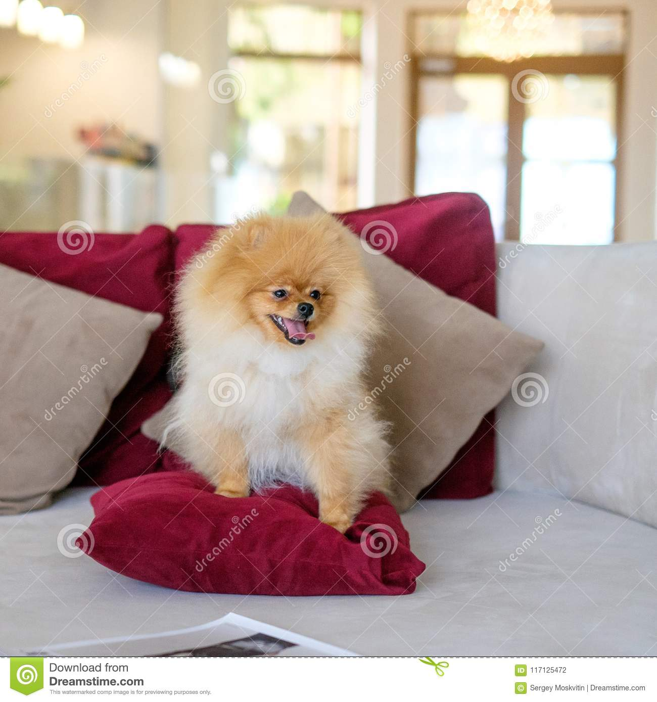 Dog Pomeranian Spitz Sits On A Purple Couch Stock Photo - Image of