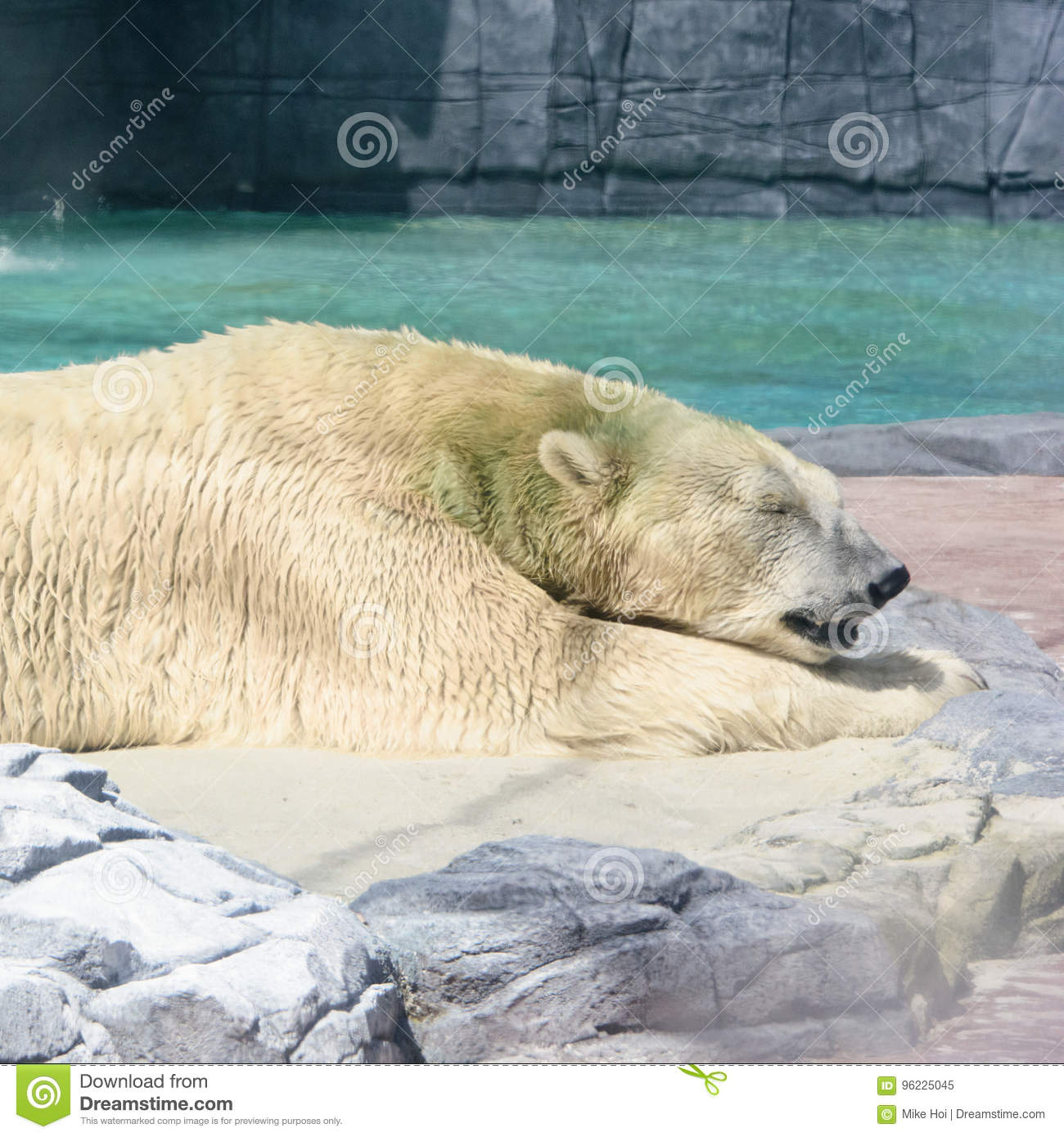 Adult polar bear relaxing under the sun in Singapore Zoo