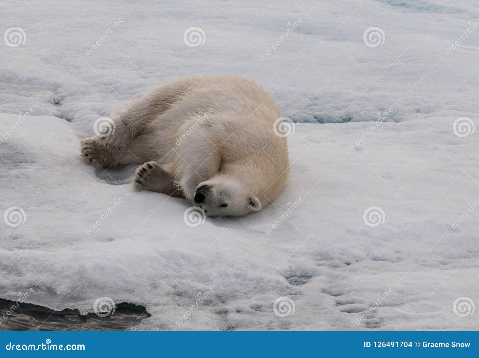 Adult Polar Bear rolling on sea-ice, Svalbard