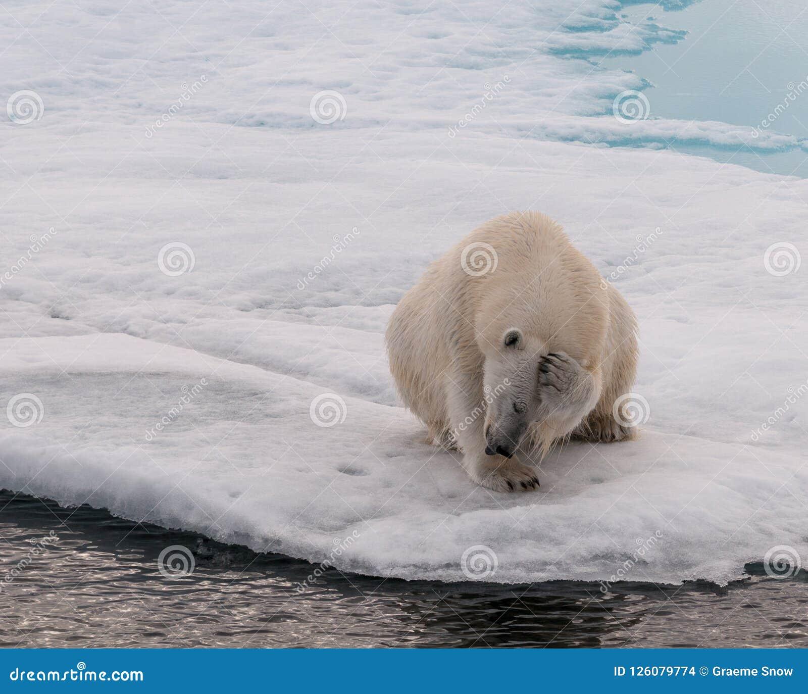 Adult Polar Bear scratching its head, on sea-ice, Svalbard
