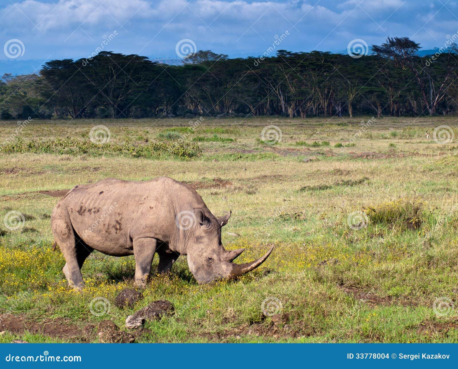 Adult rhino eating grass stock photo  Image of nature - 33778004