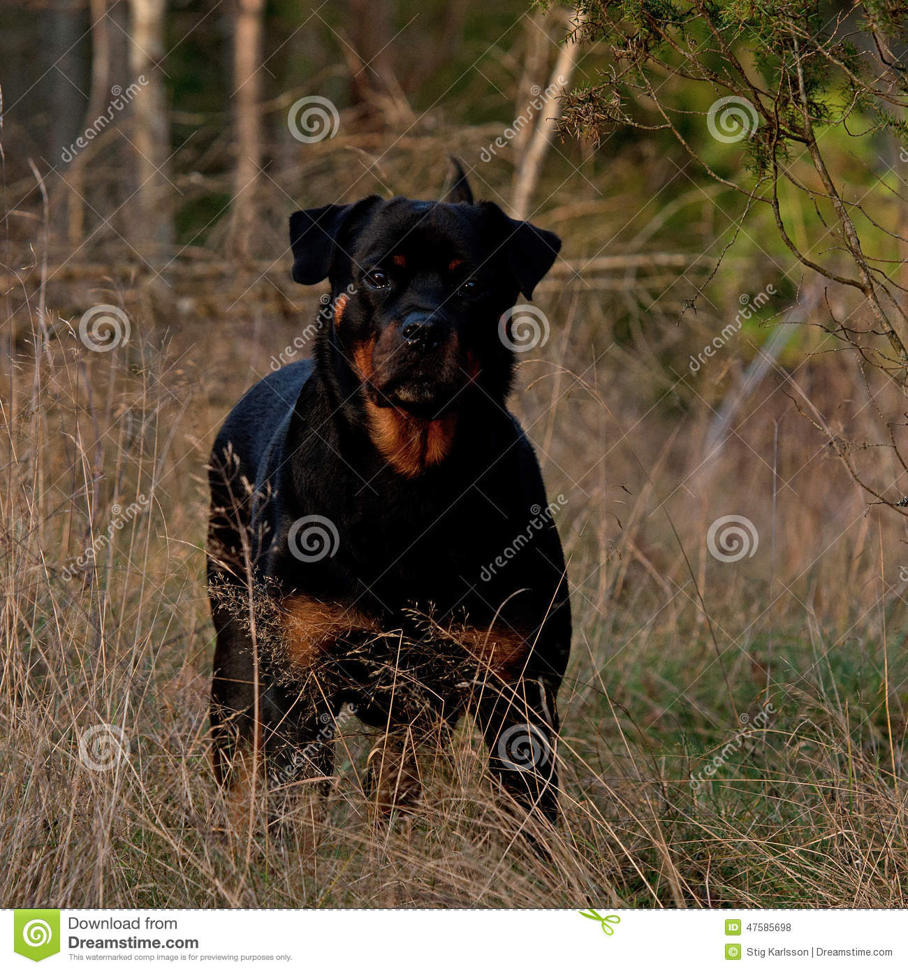 Adult Rottweiler Female Stand In The Sun Stock Photo ...