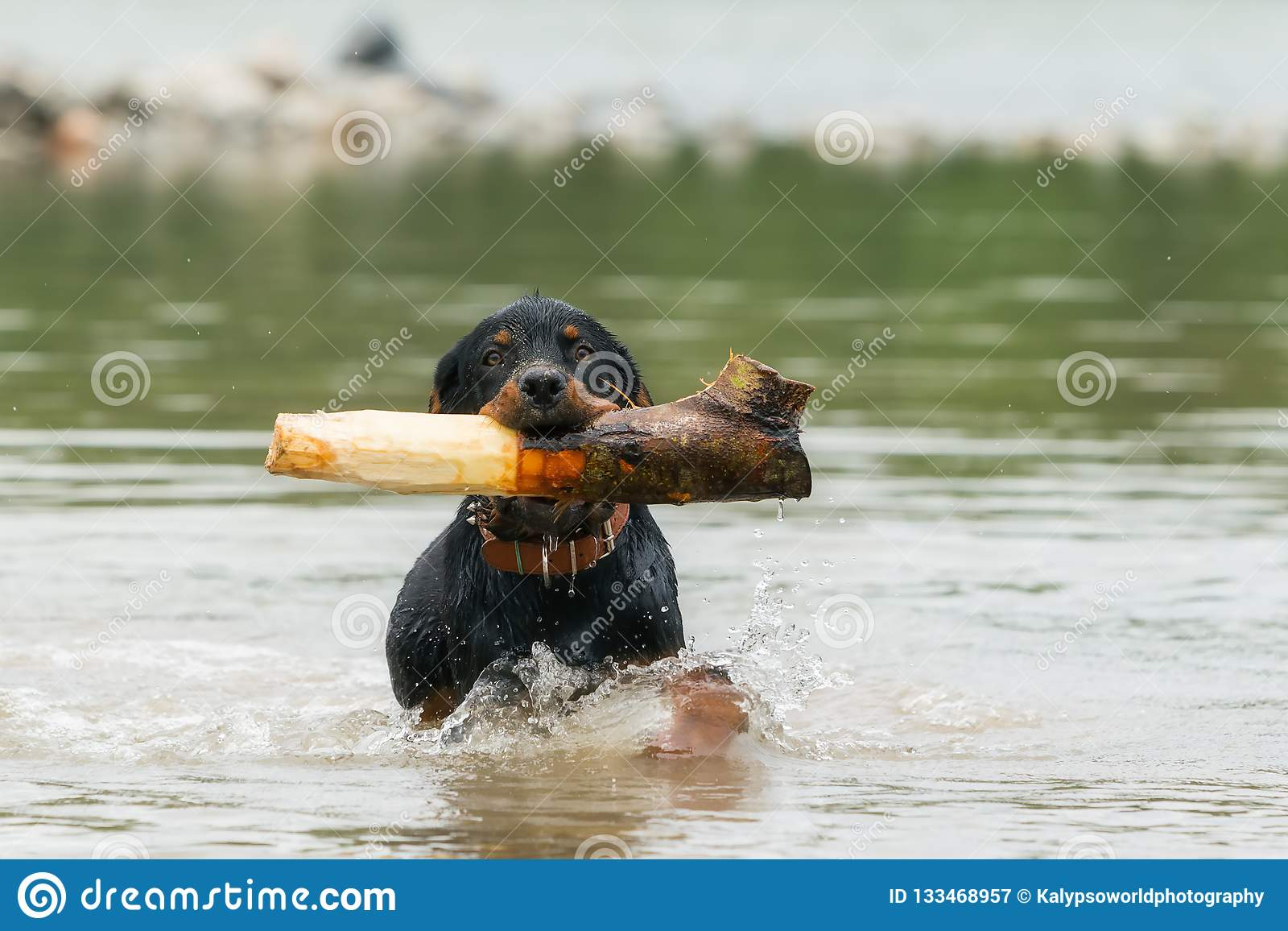 Adult Rottweiler Playing In The River