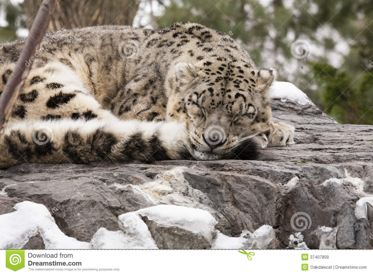 Adult Snow Leopard Asleep During Snow Royalty Free Stock Images ...