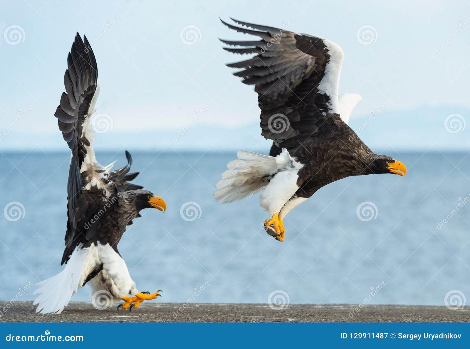 Adult Steller`s sea eagles. Blue sky and ocean background.