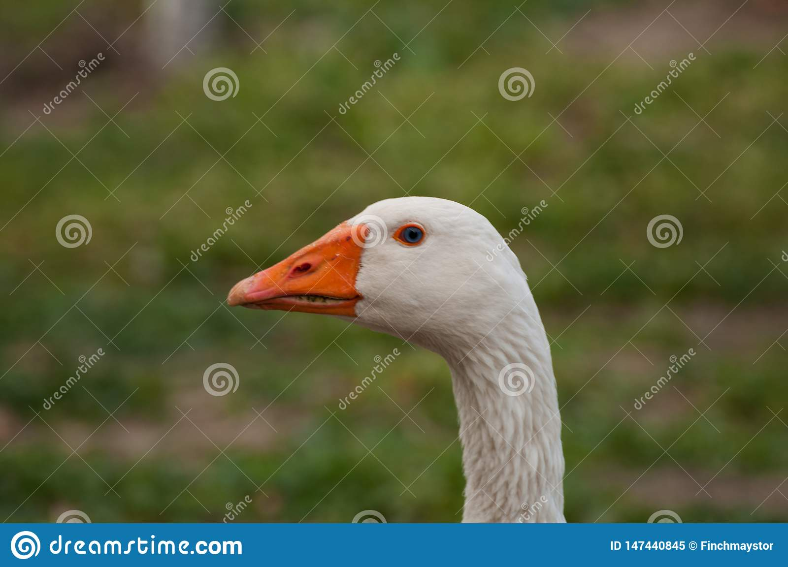 Adult white goose in the yard.Domestic animal.Outdoor