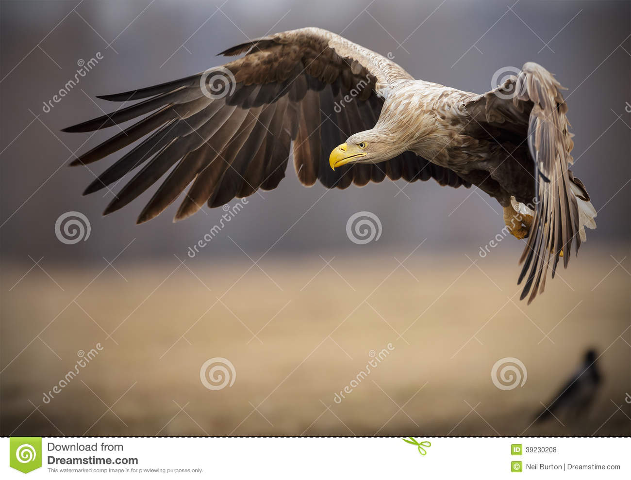 Adult white-tailed sea eagle in flight