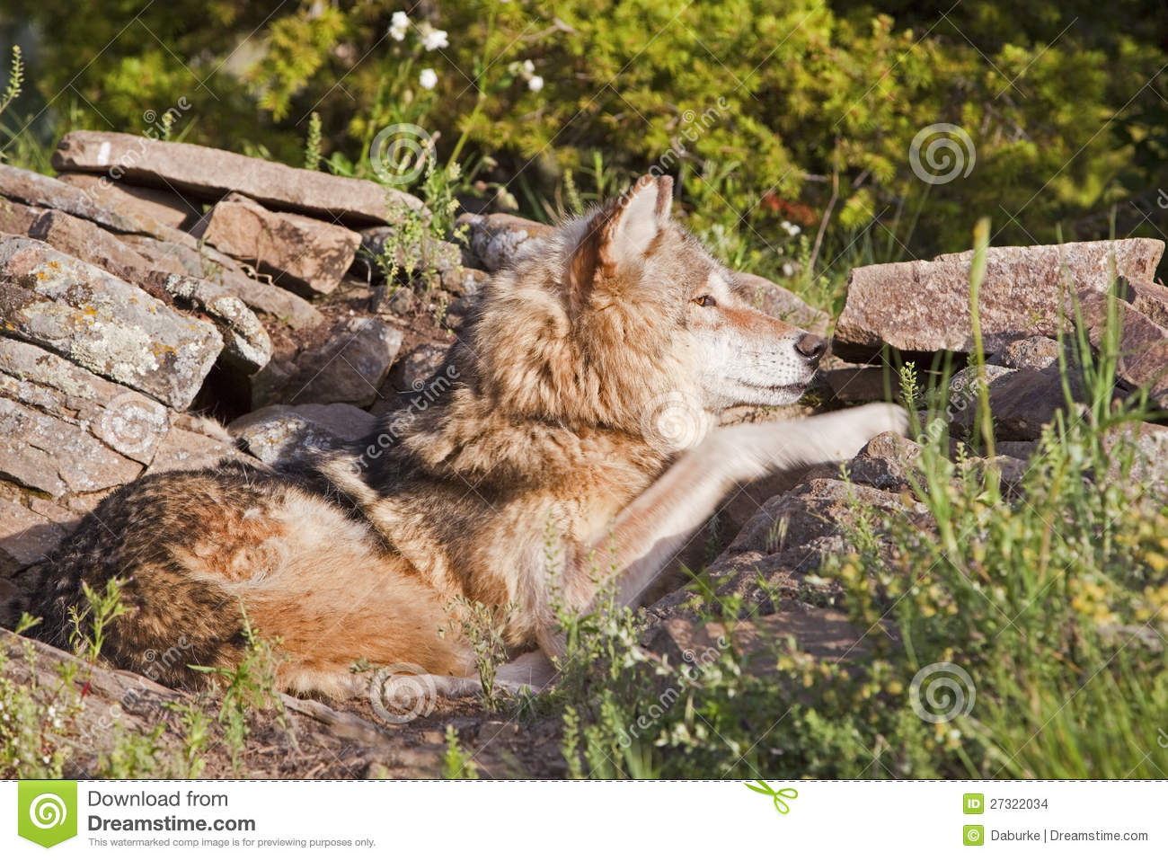 Adult Wolf Lying In Rock Den Stock Images - Image: 27322034  Adult Wolf Lyin...