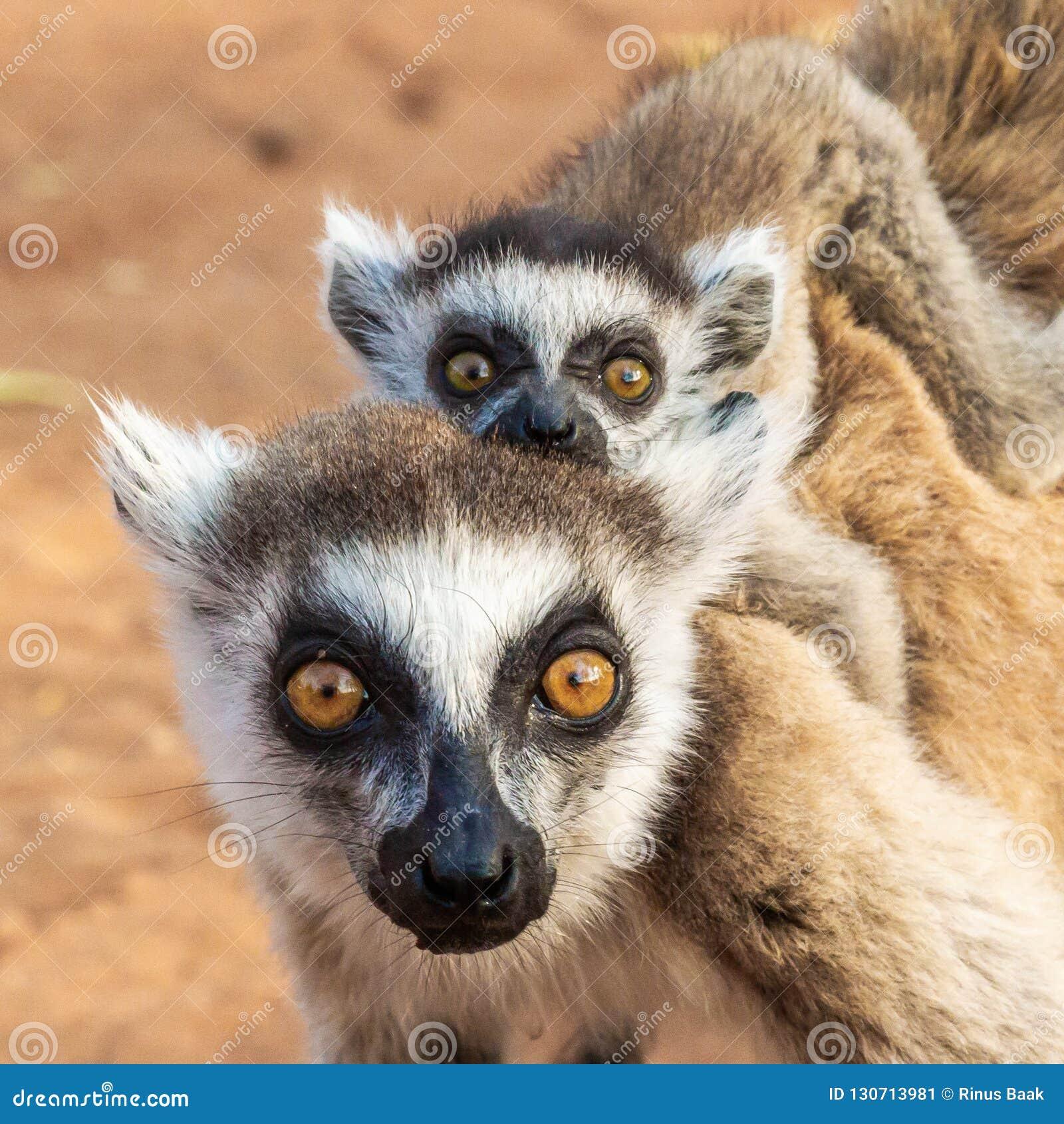 Adulte et nourrisson Ring Tailed Lemur