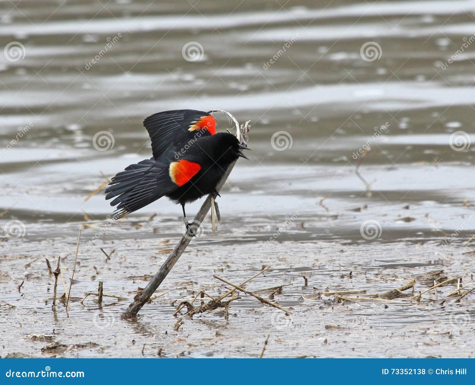 Advertencia del mirlo de alas rojas