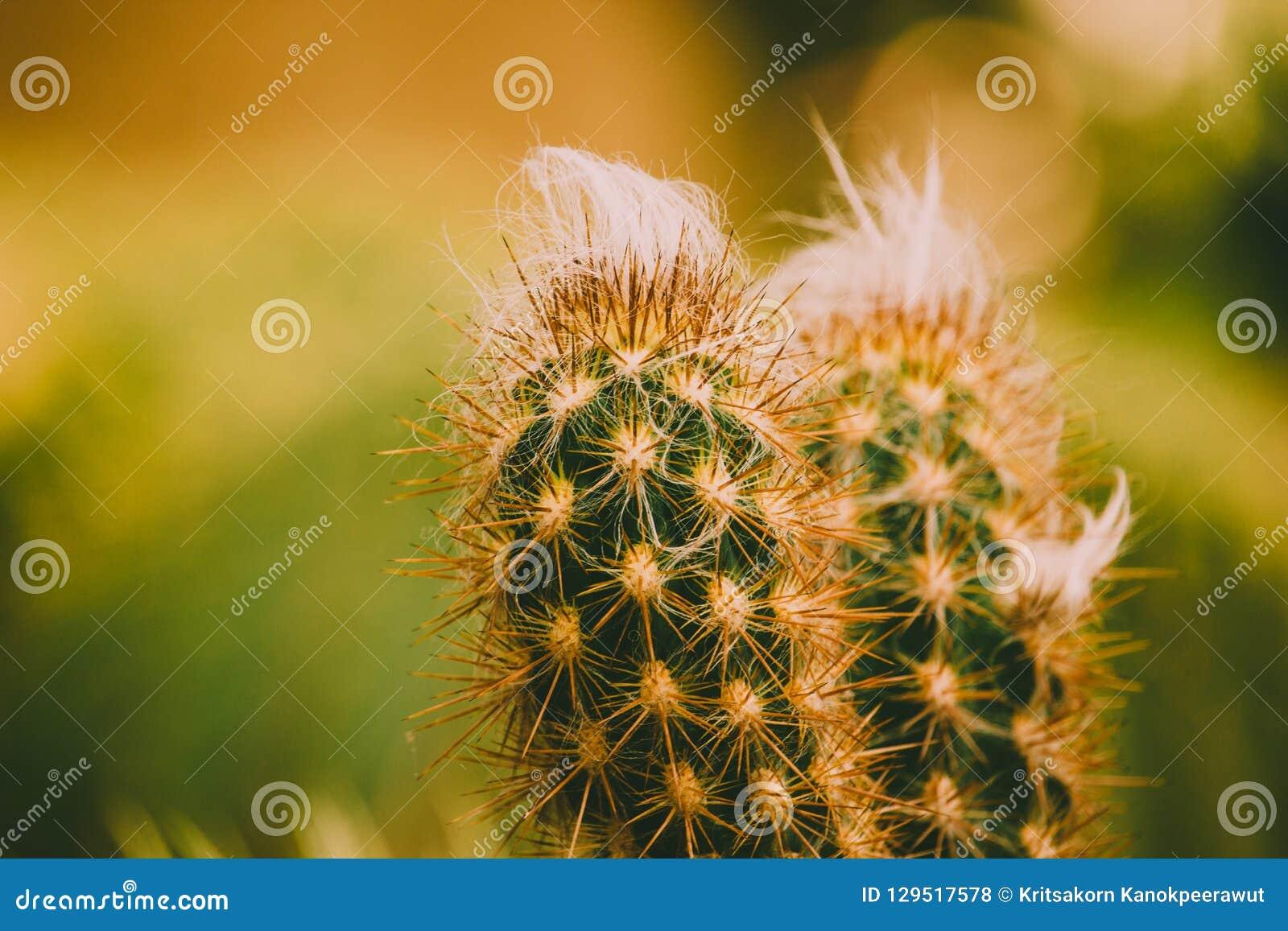 Advirta o leninghausii de Eriocactus da imagem do tom, cacto do close up no