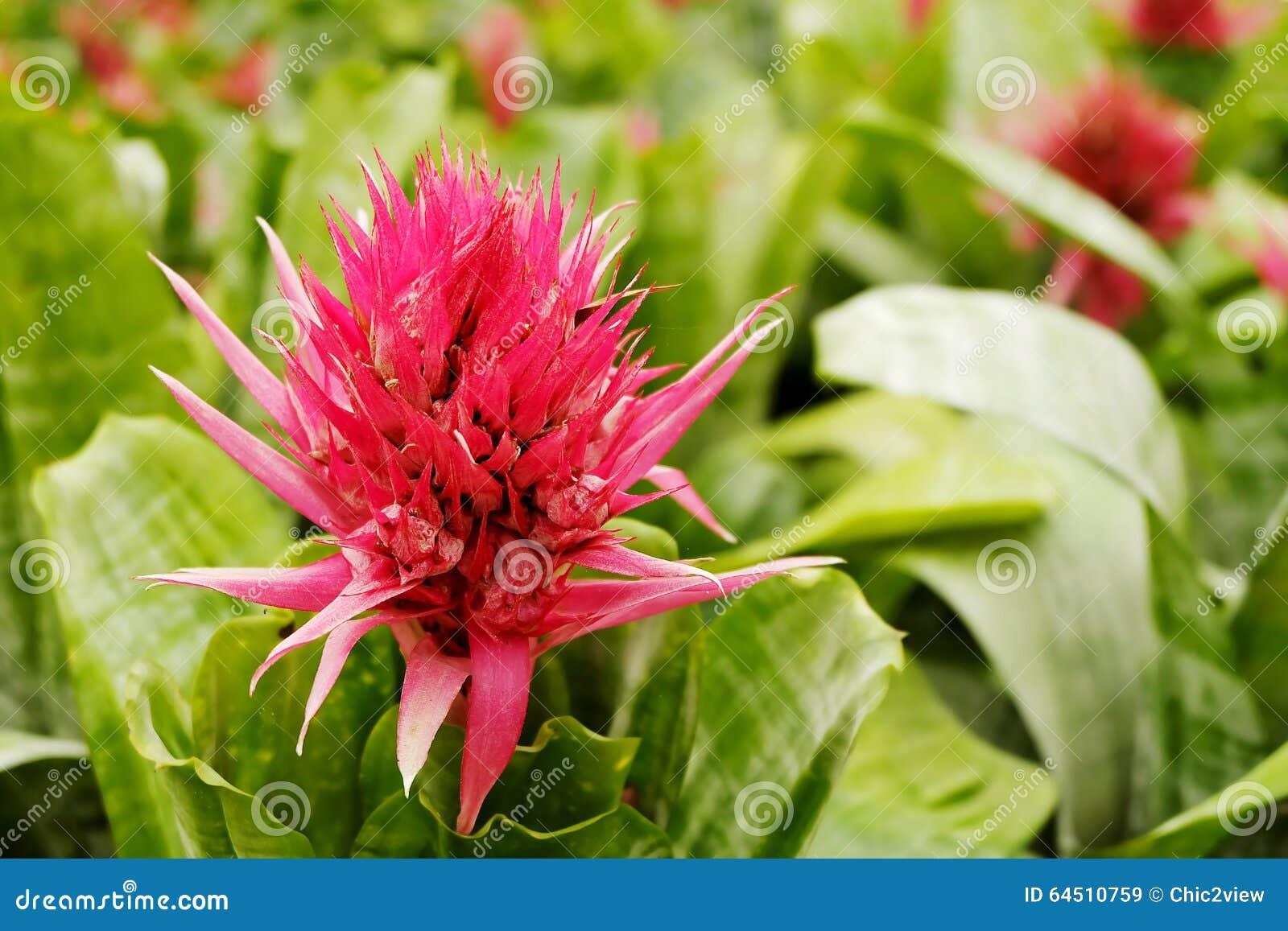 Aechmea ramosa silver vase bromeliad pineapple flowers stock image aechmea ramosa silver vase bromeliad pineapple flowers reviewsmspy