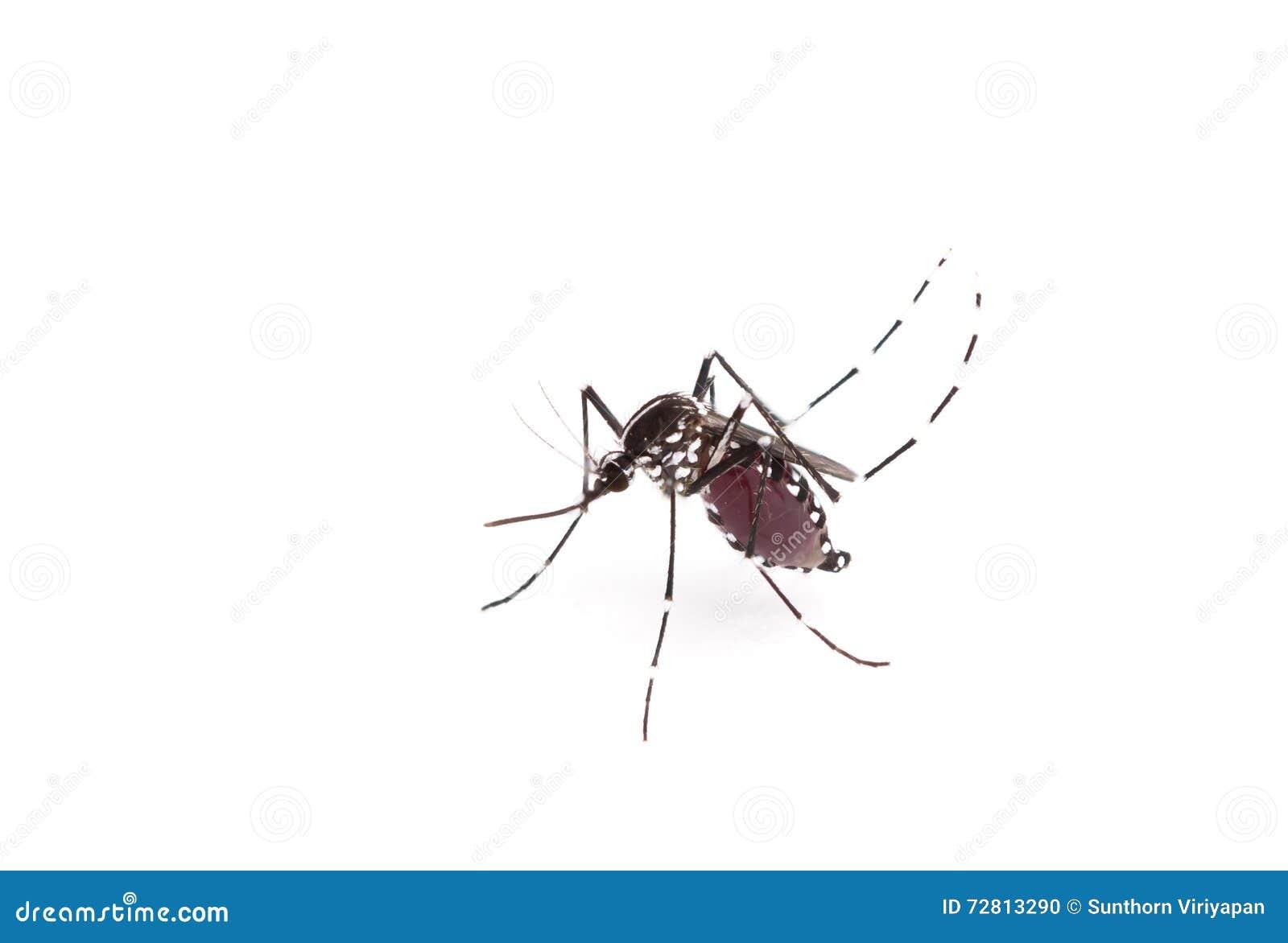 Aedes Aegypti Chiuda Su Una Zanzara Che Succhia Il Sangue