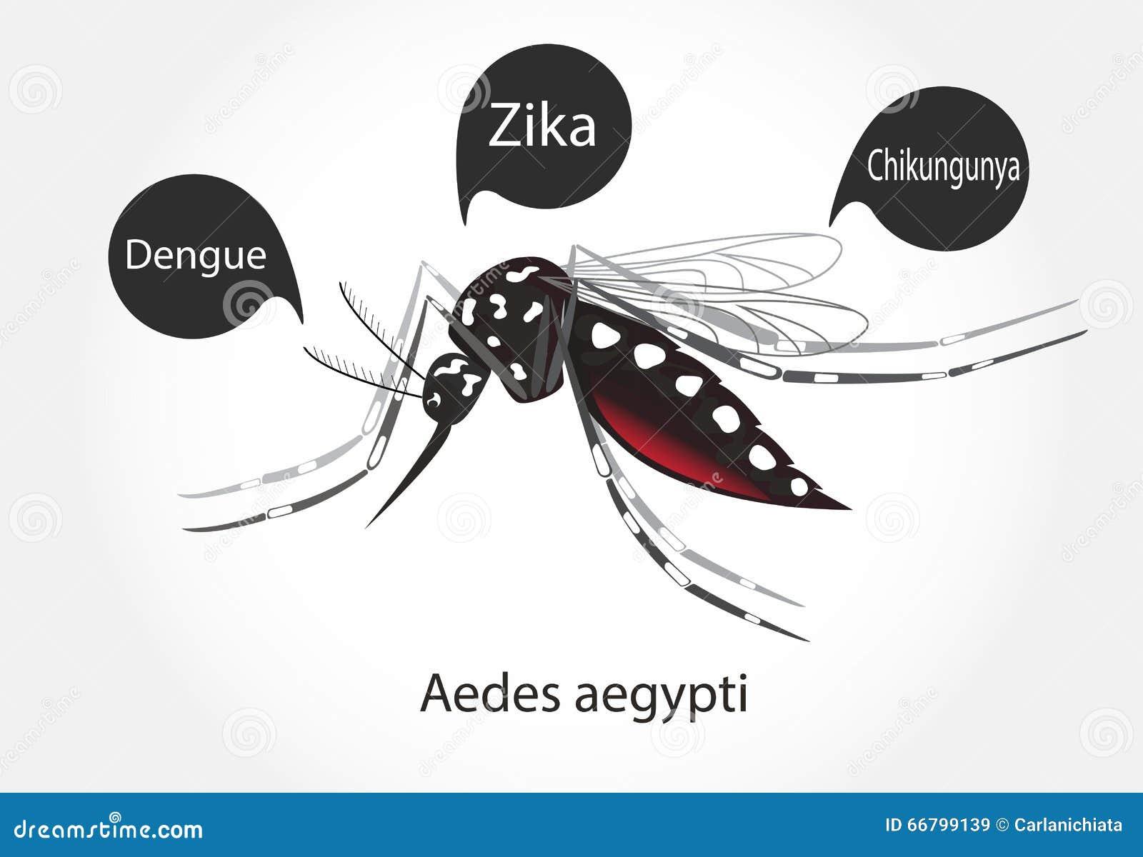Aedes aegypti mosquito vector. Dengue Zica Chikungunya.
