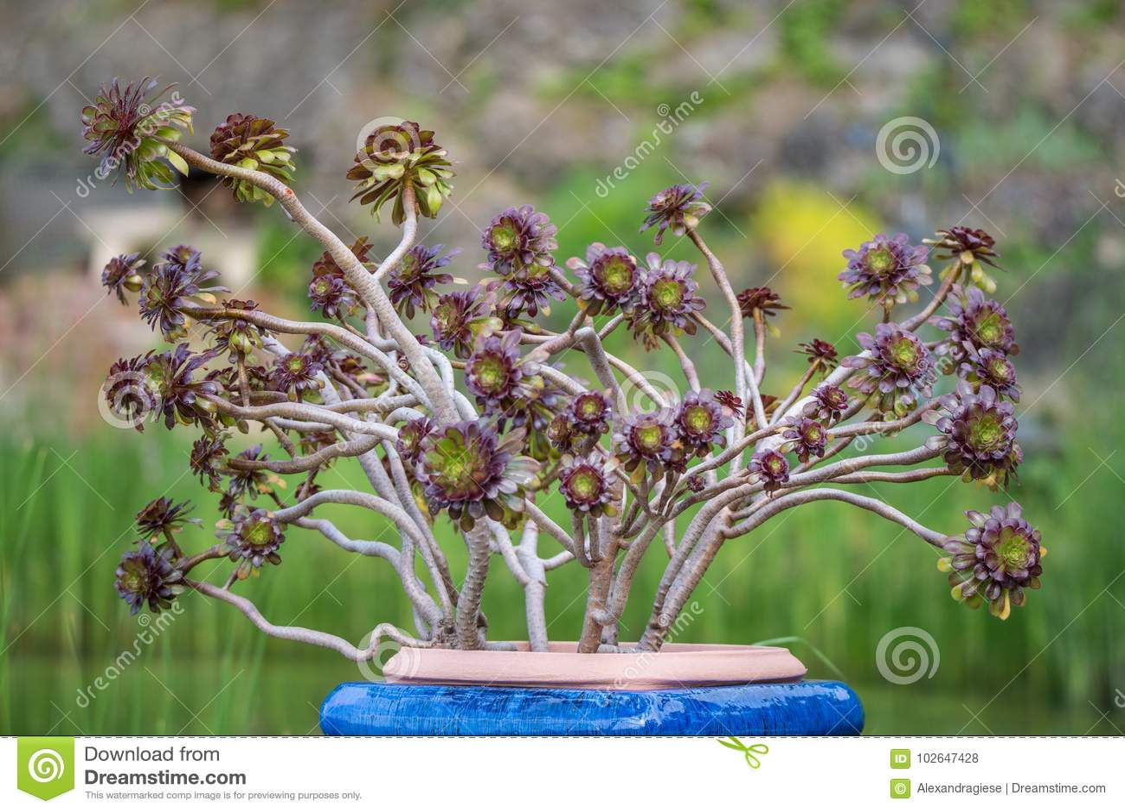 Aeonium δέντρων σε ένα μπλε δοχείο