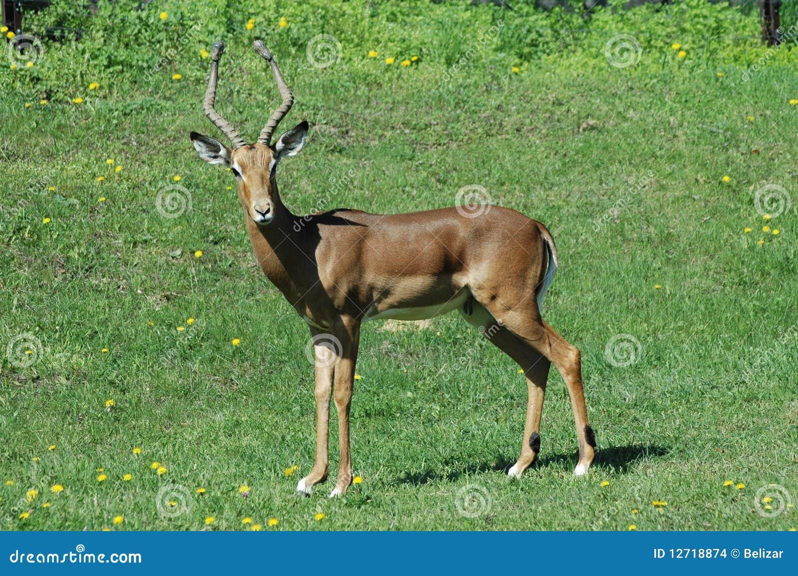 Aepyceros samiec impala melampus