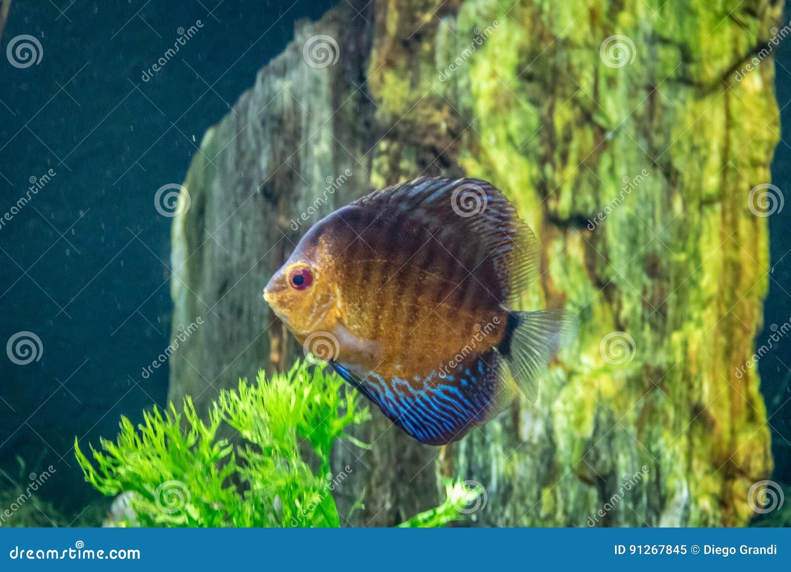 Aequifasciatus alaranjado e azul de Symphysodon dos peixes do disco