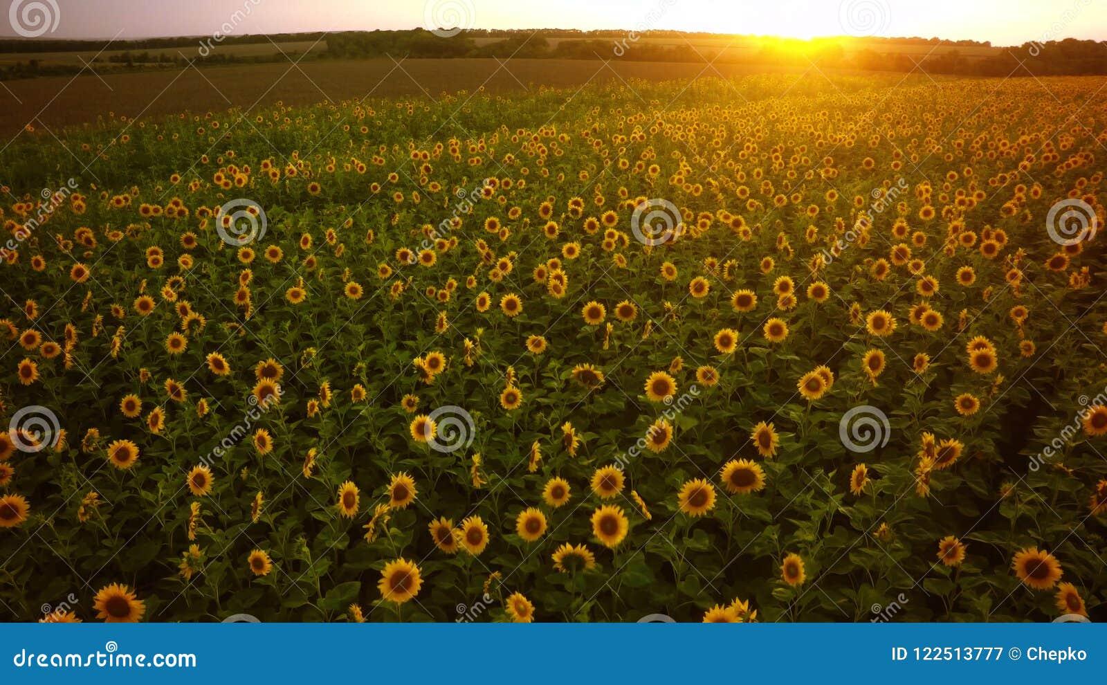 Download Aerial Shooting Field Of Sunflowers In Summer.Wonderful Rural La Stock Image - Image of floral, blue: 122513777