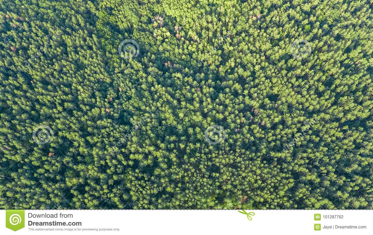 Download Aerial Top View Of Forest Landscape From Above Pine Trees Nature Background Stock Photo