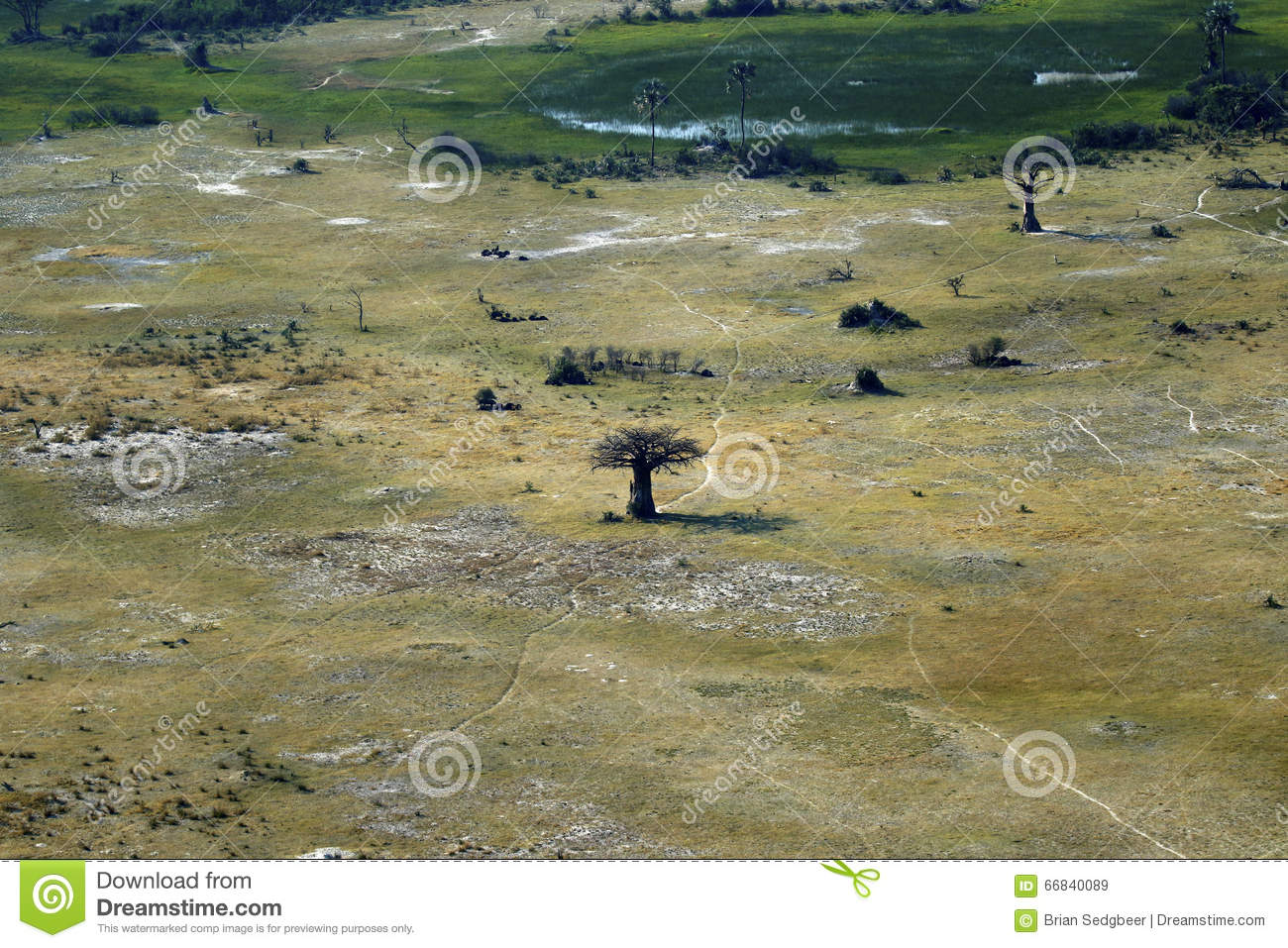 African Plain Trees