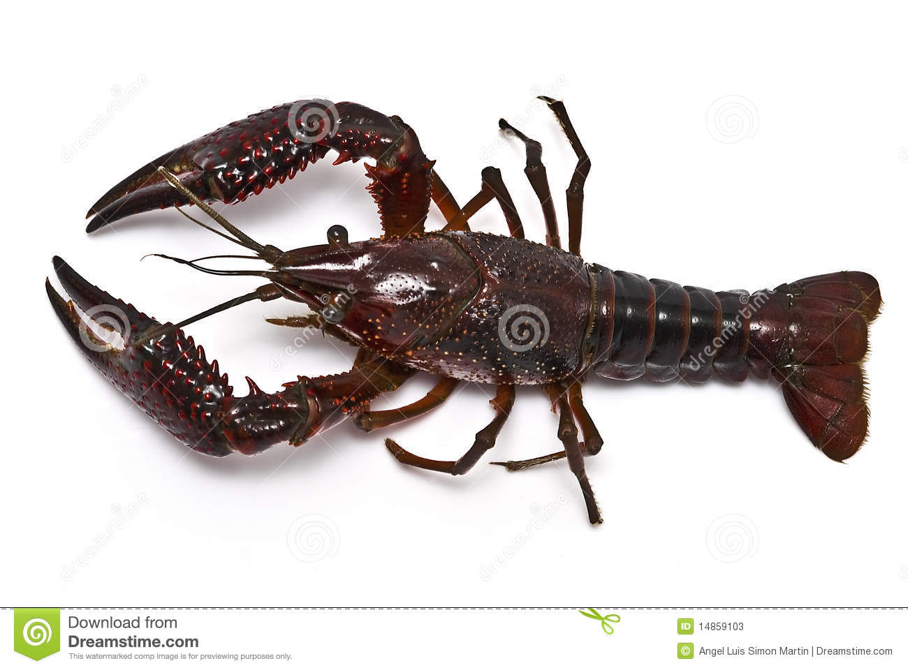 Aerial view of a crayfish.