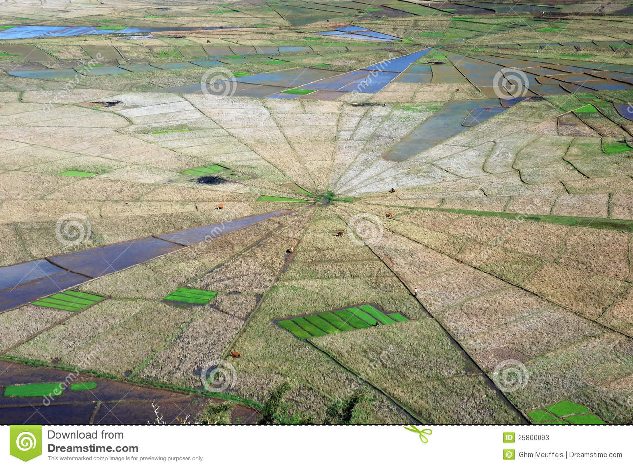 Aerial view spiders web shaped rice fields