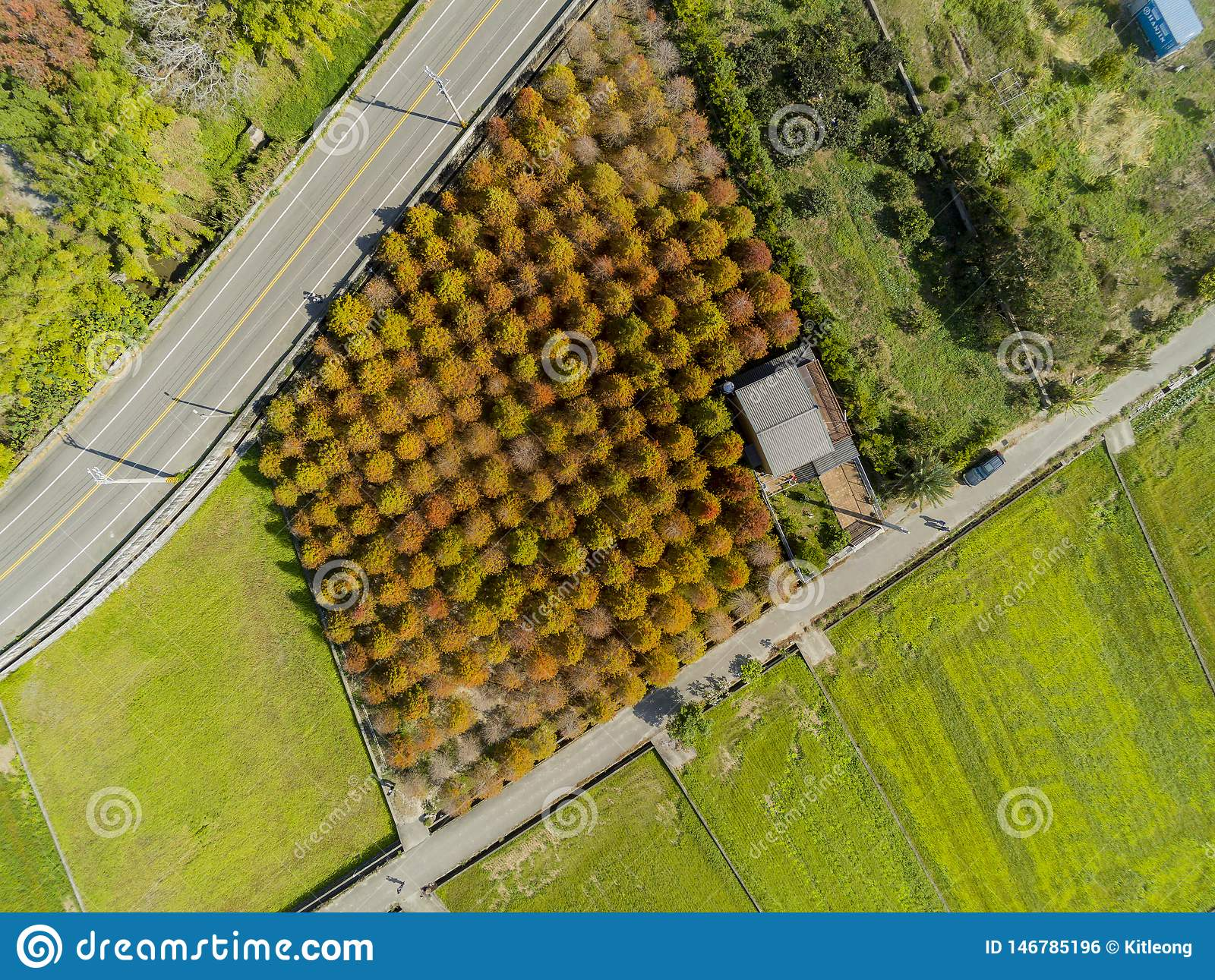 Aerial view of the Taxodium distichum in fall color with red with orange leaves