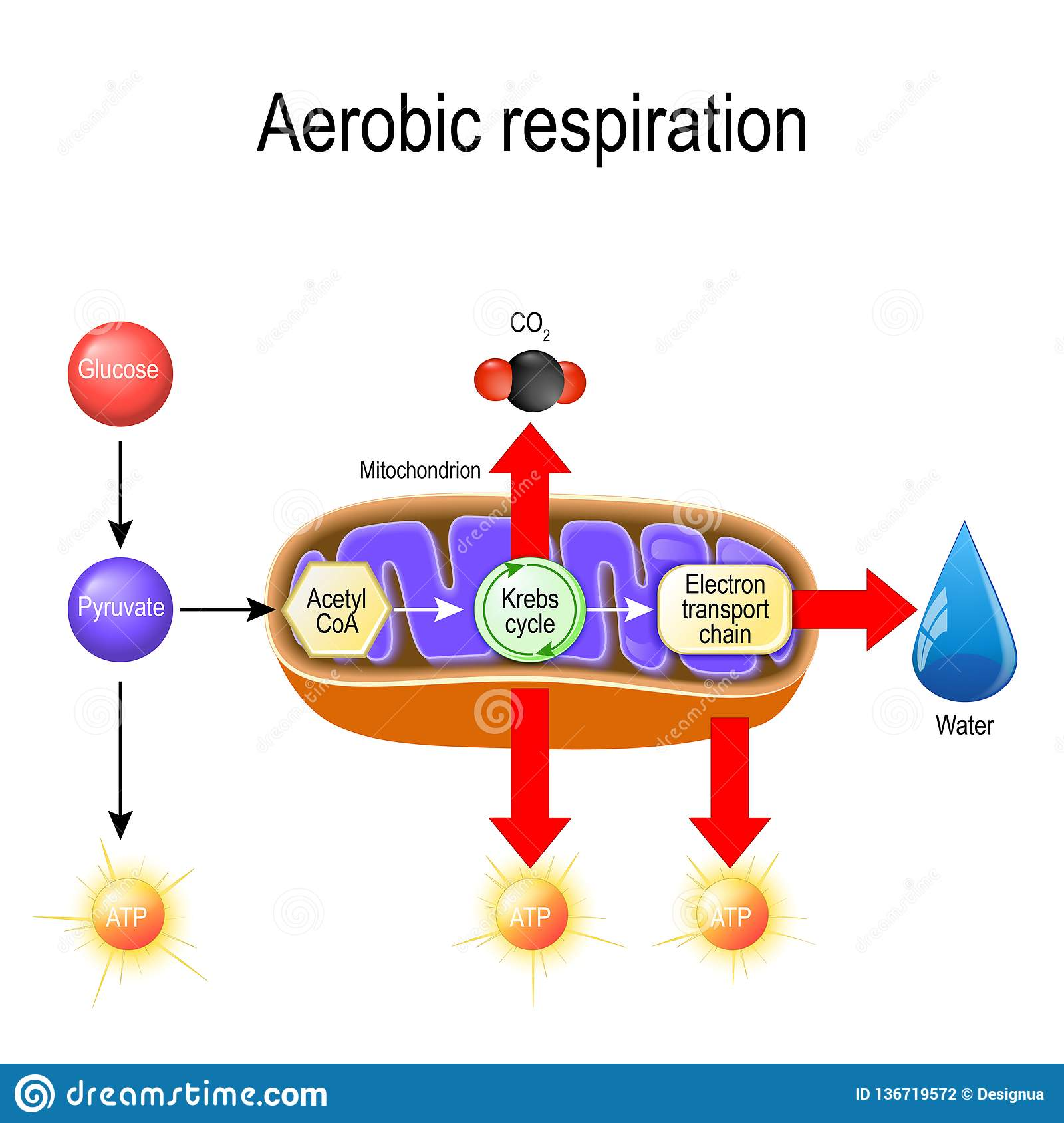 Cellular Respiration Stock Illustrations 98 Cellular Respiration Stock Illustrations Vectors Clipart Dreamstime