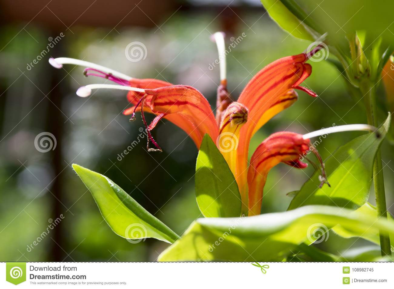 Aeschynanthus Speciosus In Bloom Pretty Orange Red Flowers