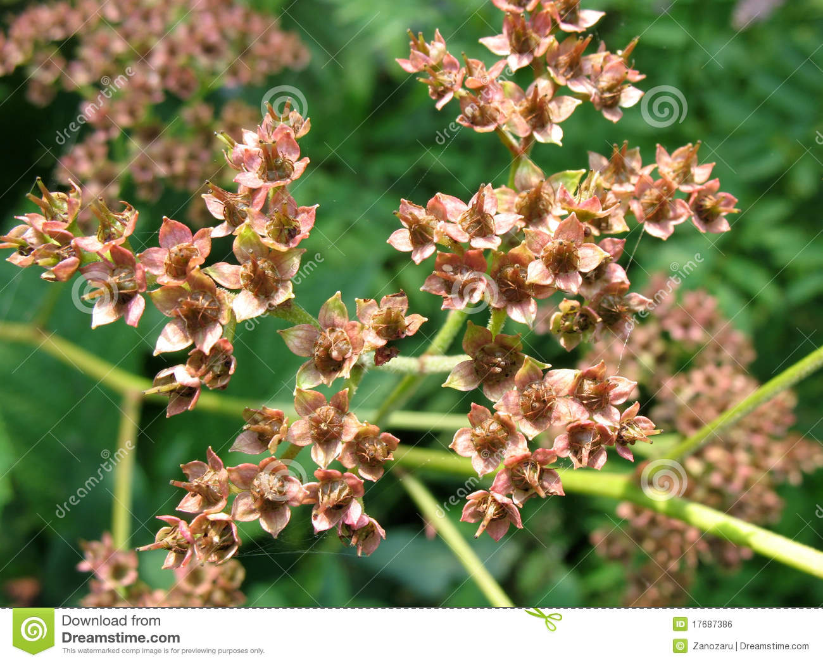 Aesculofolia dojrzenia rodgersia ziarna