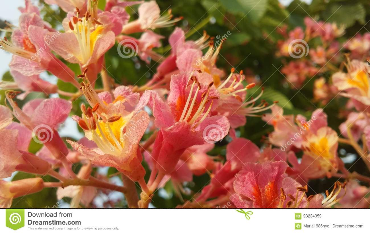Aesculus Hippocastanum Horse Chestnut With Pink Blossoms Stock