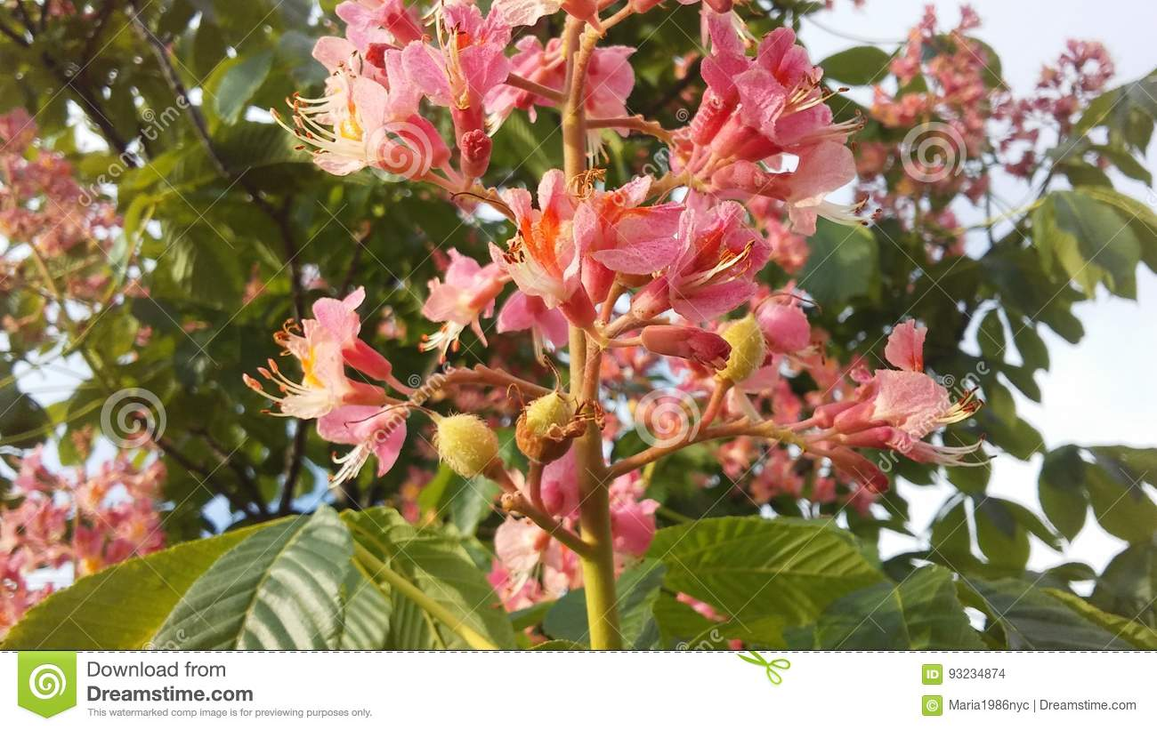 Aesculus Hippocastanum Horse Chestnut With Pink Blossoms And Small