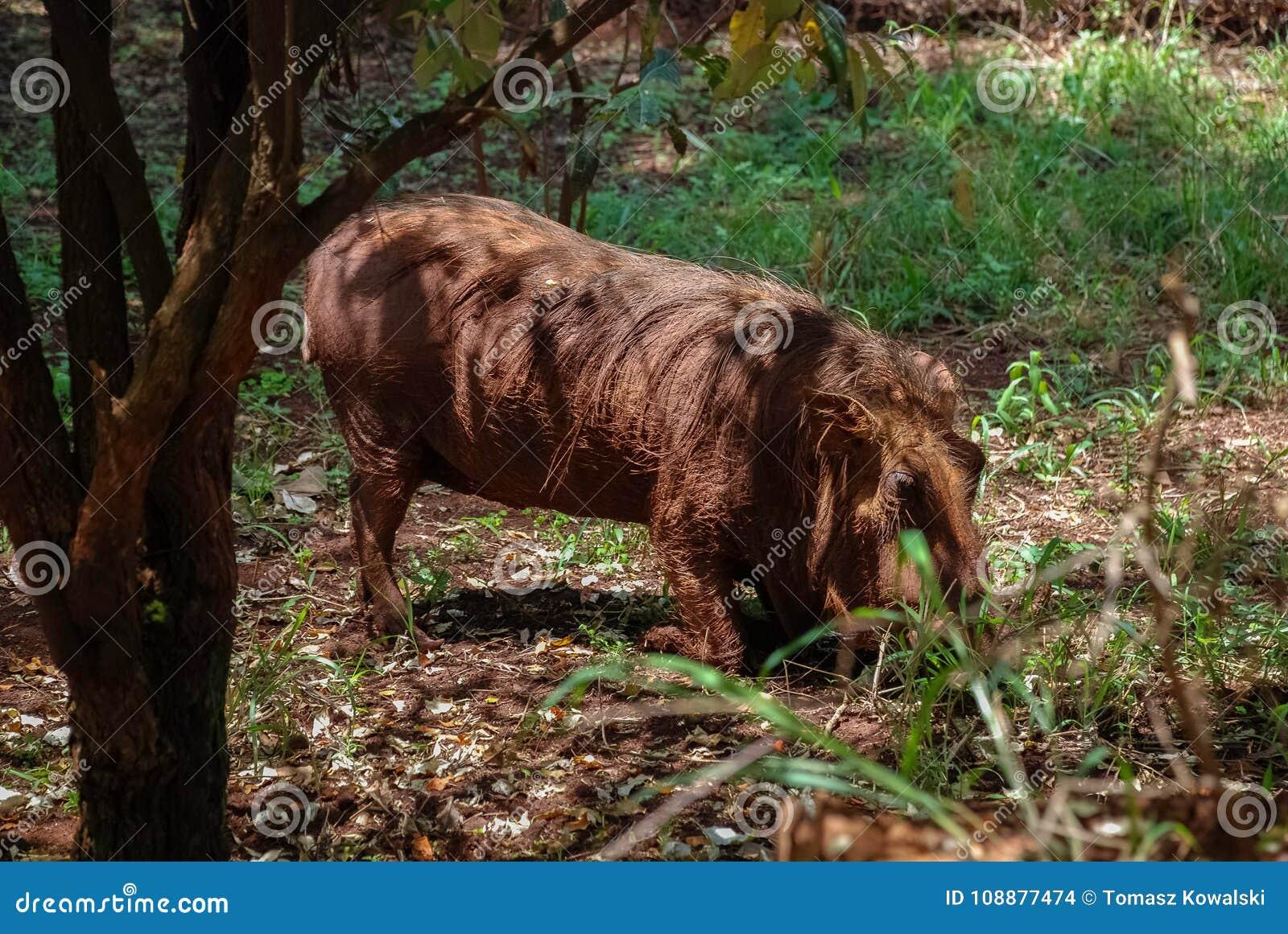 Aethiopicus Kenia Afrika van wrattenzwijnphacochoerus