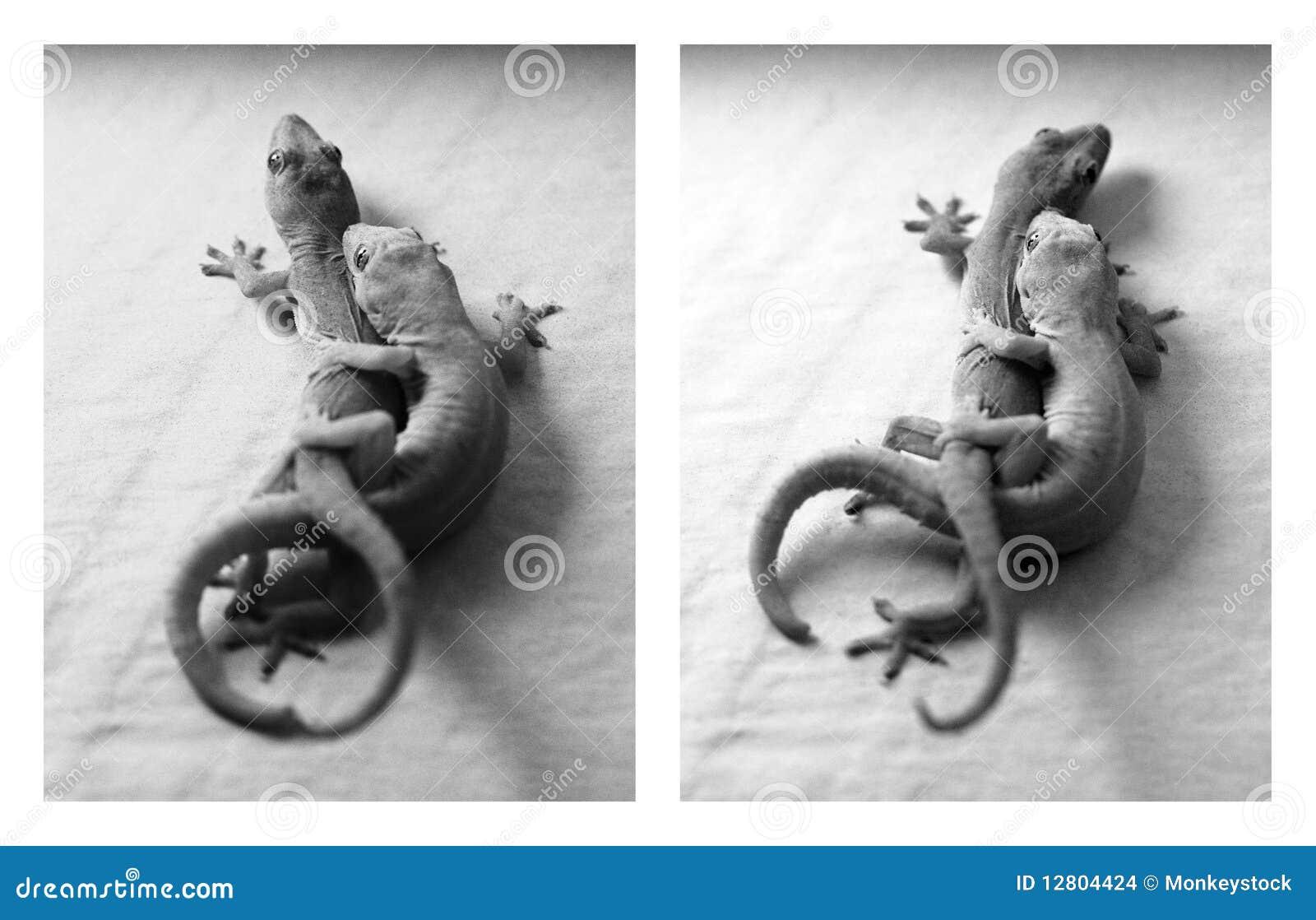 Afeição do Gecko