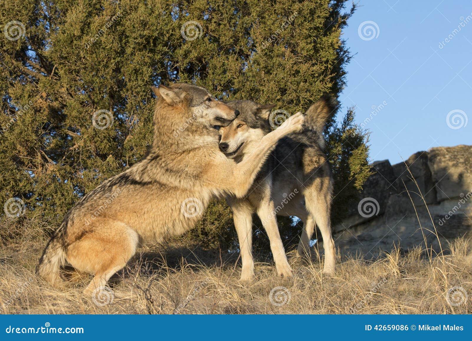 Afeição indicada pelos lobos de madeira masculinos e fêmeas