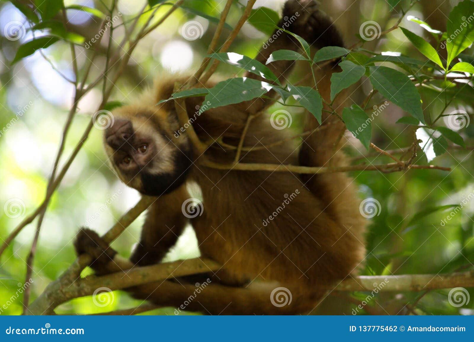 Affe auf den Baum, der auf den Niederlassungen liegt