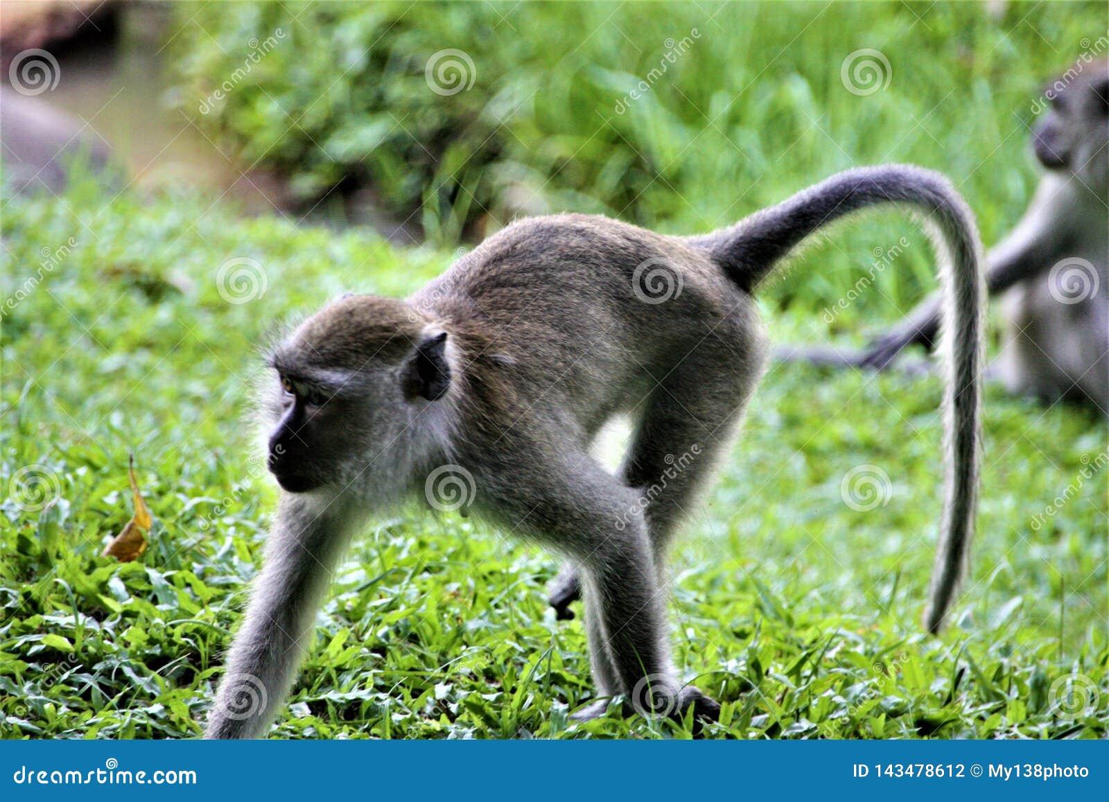 Affe, der auf Wiese im Wald spielt