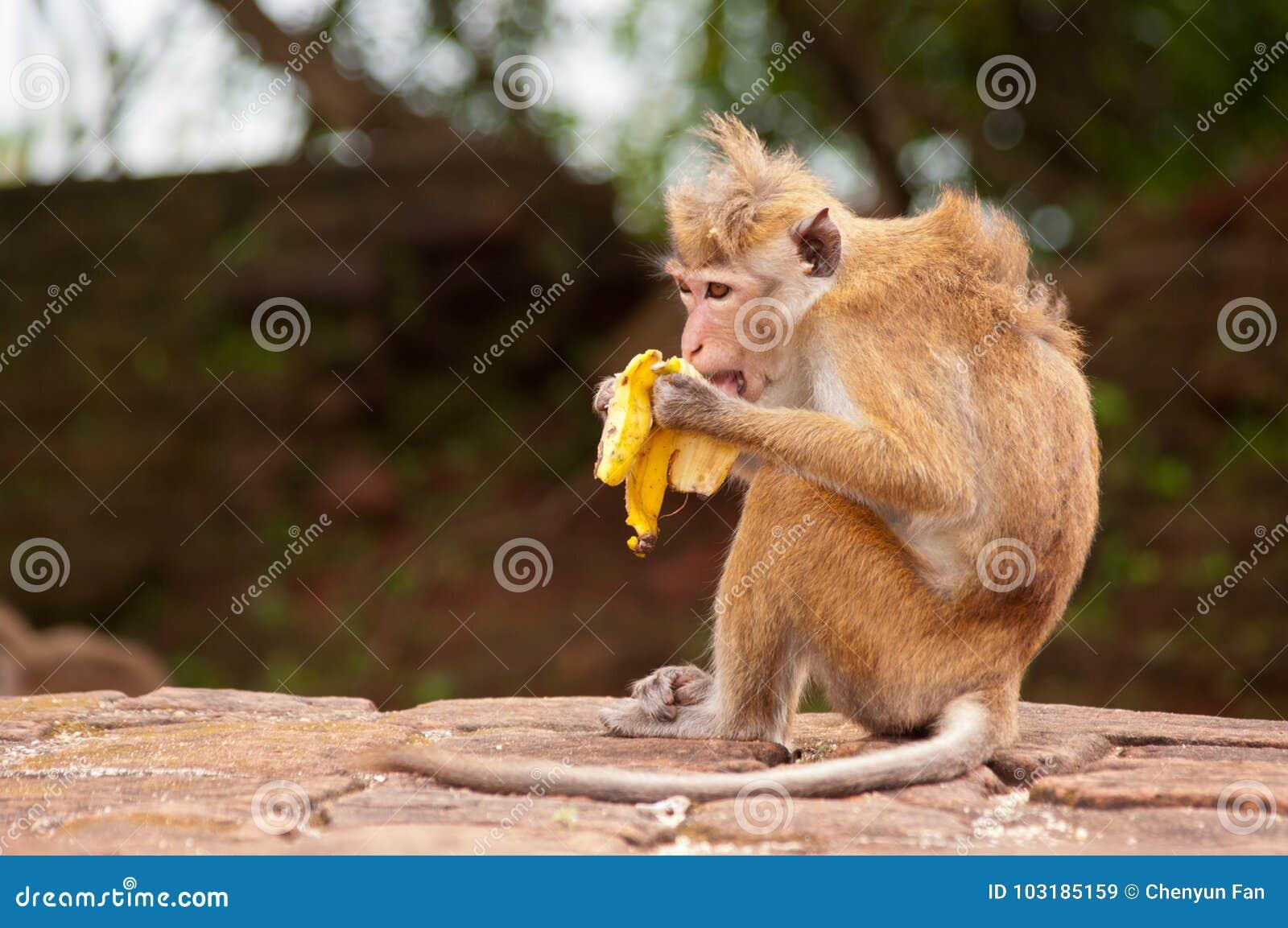 affe der banane isst stockbild bild von pelz macaque 103185159. Black Bedroom Furniture Sets. Home Design Ideas