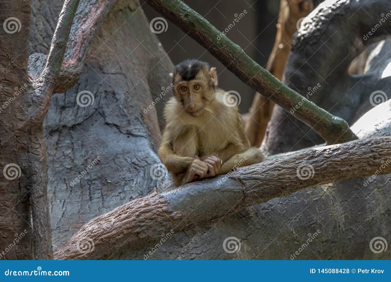 Affe in Prag-Zoo