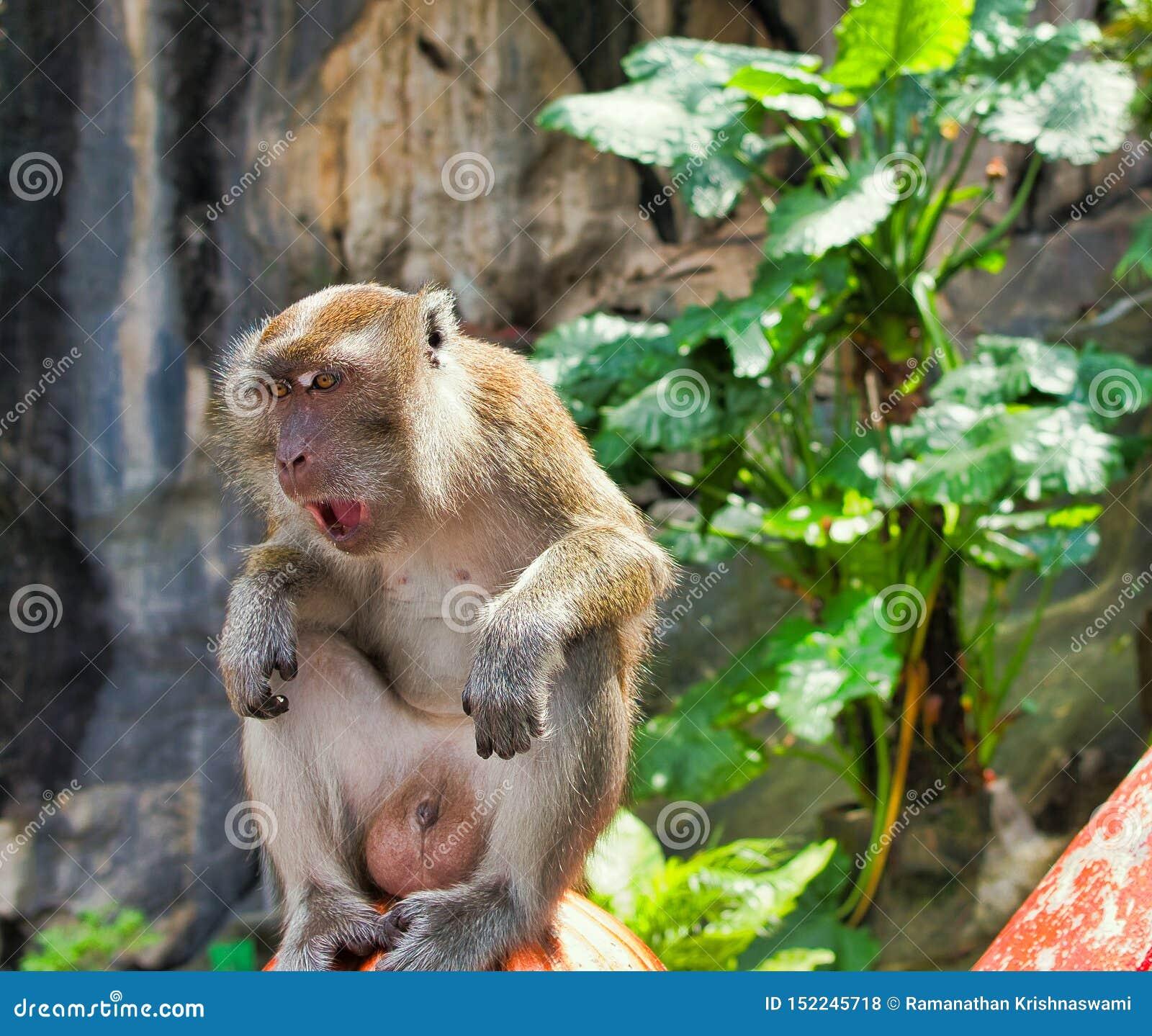 Affe von batu Höhlen