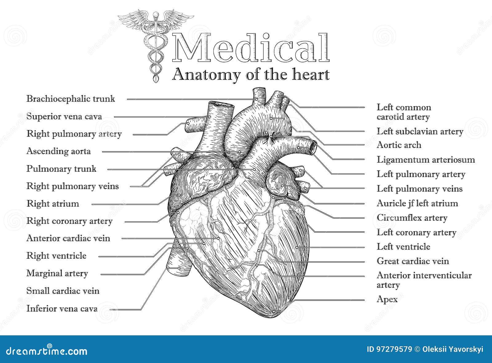 Affiche Tirée Par La Main De Coeur Humain Anatomique Avec L