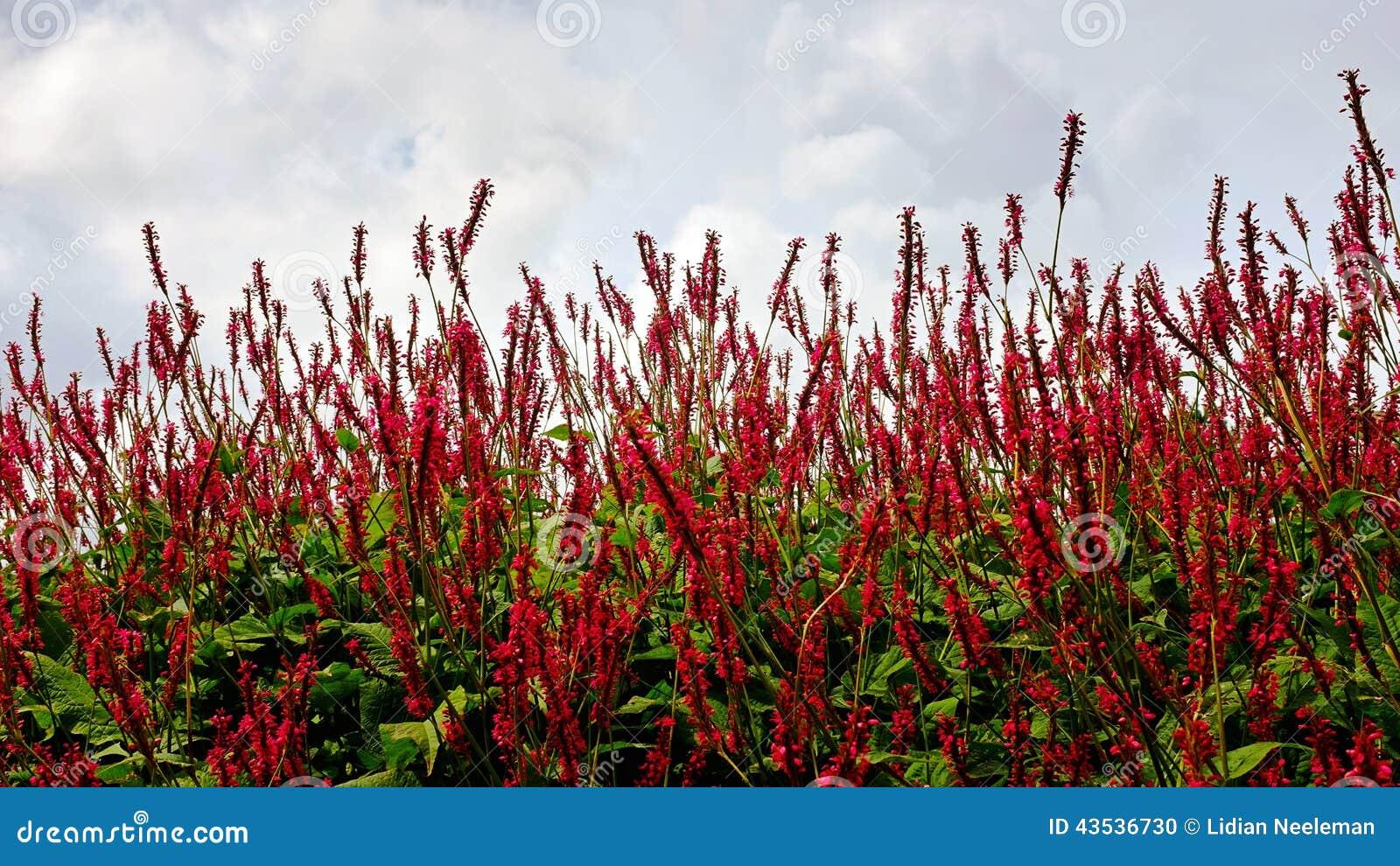 Fleur rouge des champs