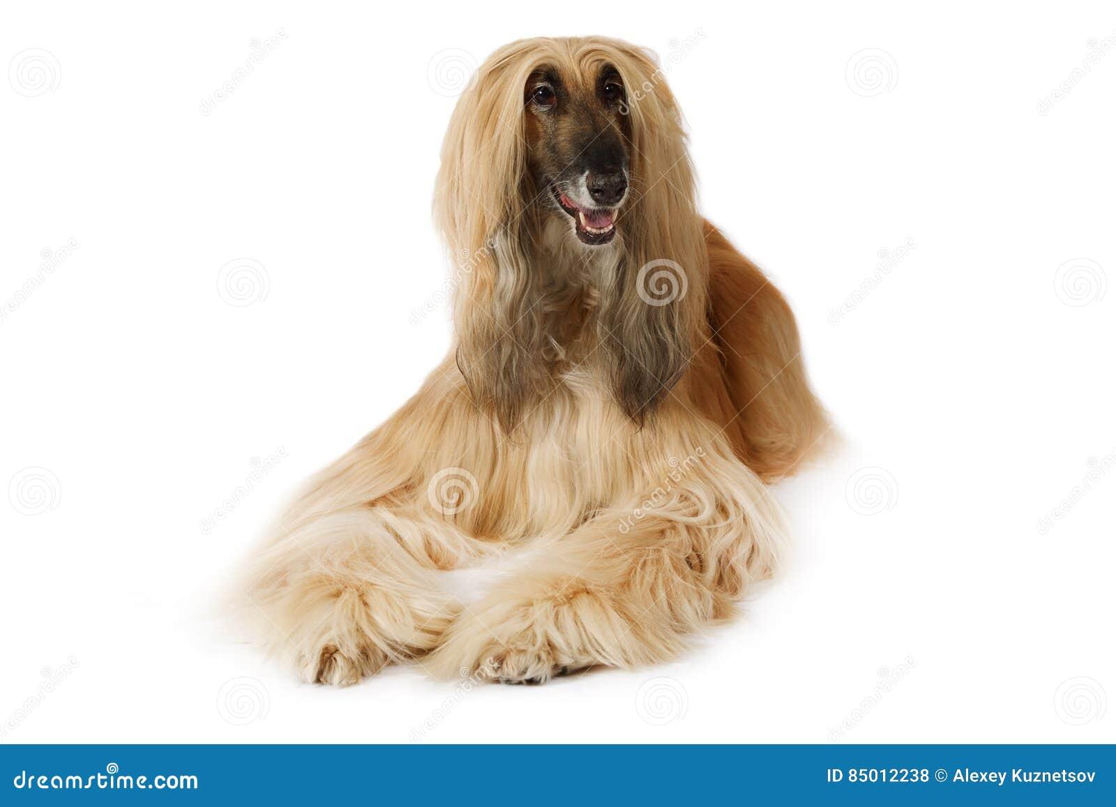 white afghan hound