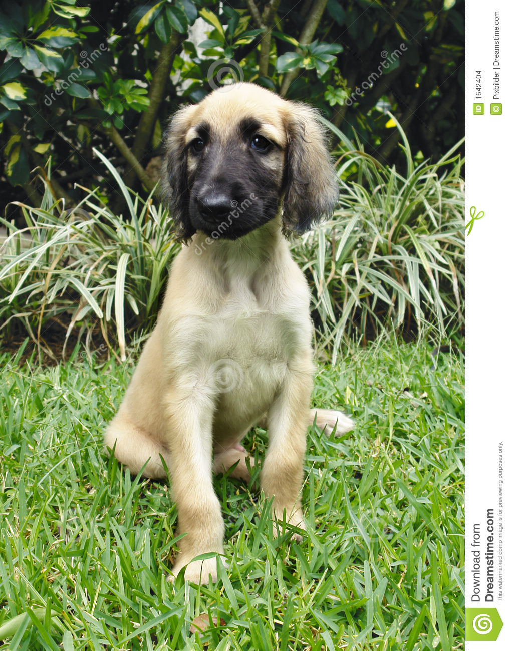 afghan hound puppy stock images image 1642404