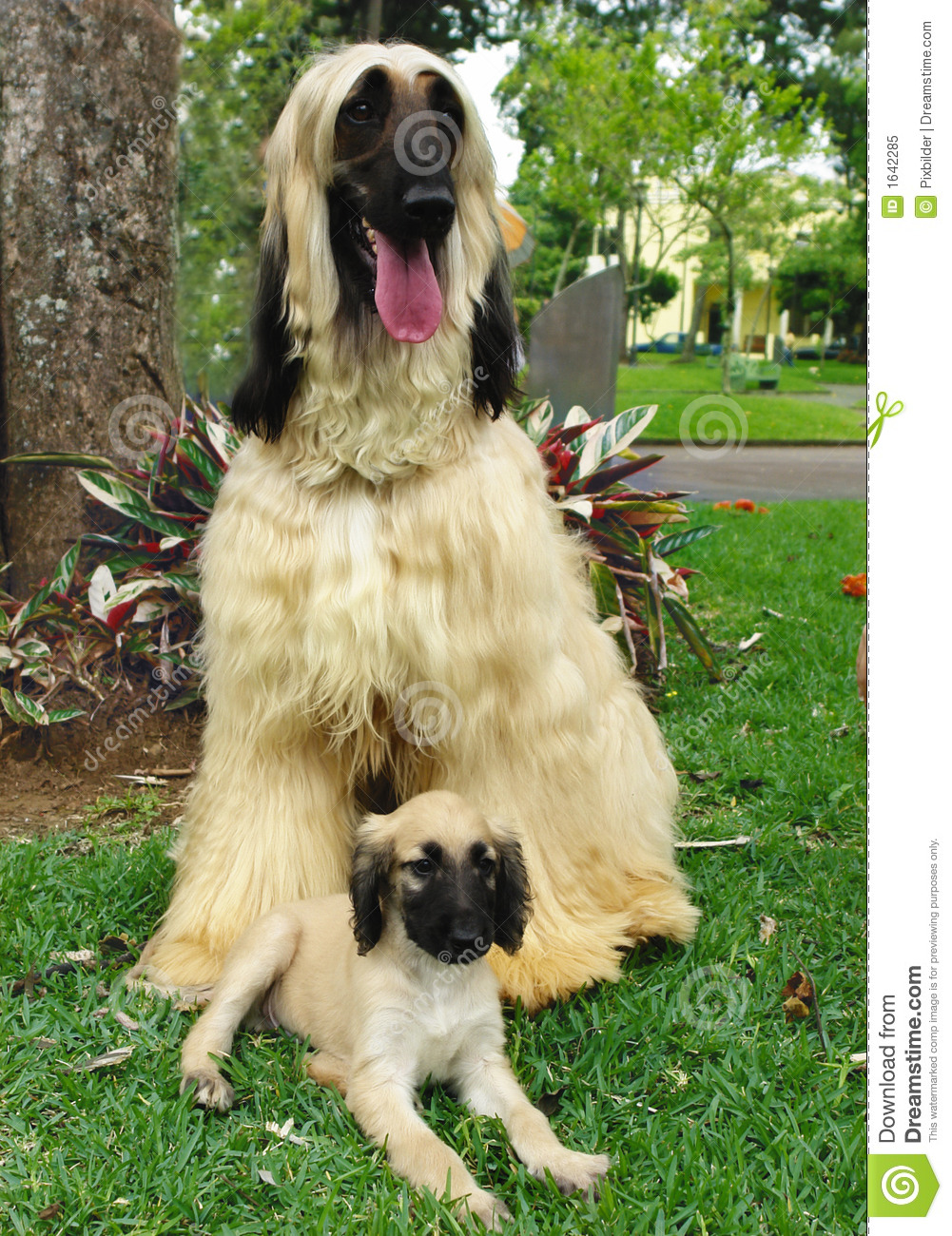 Pure breed afghan hound adult and his puppy in front of him laying ...