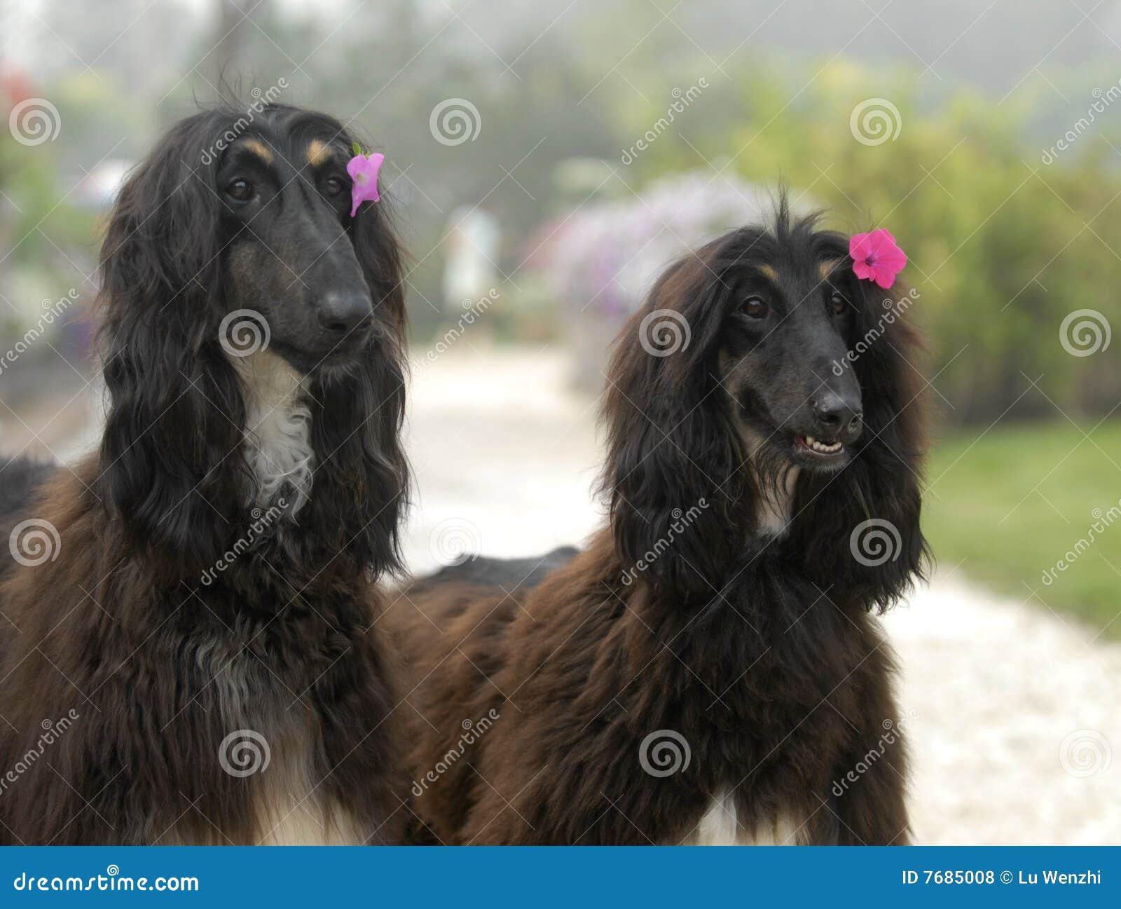 Afghan hundar jagar husdjur