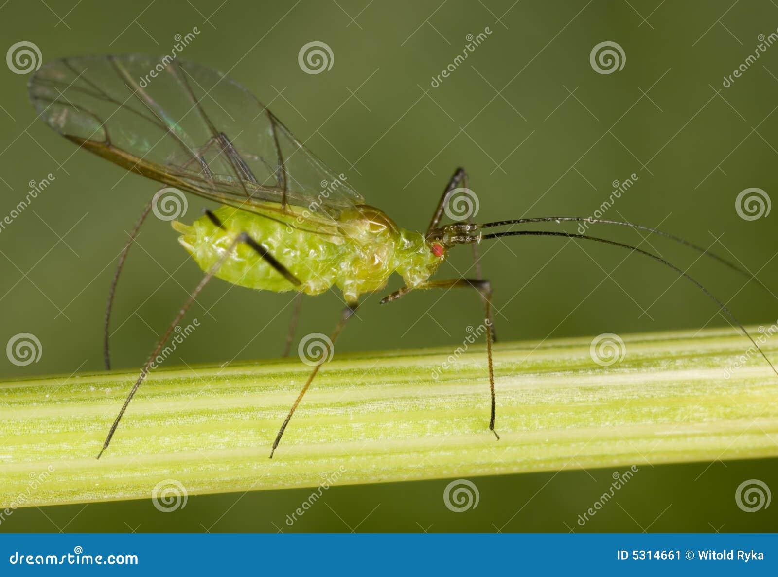 Download Afide immagine stock. Immagine di insetto, wildlife, vita - 5314661