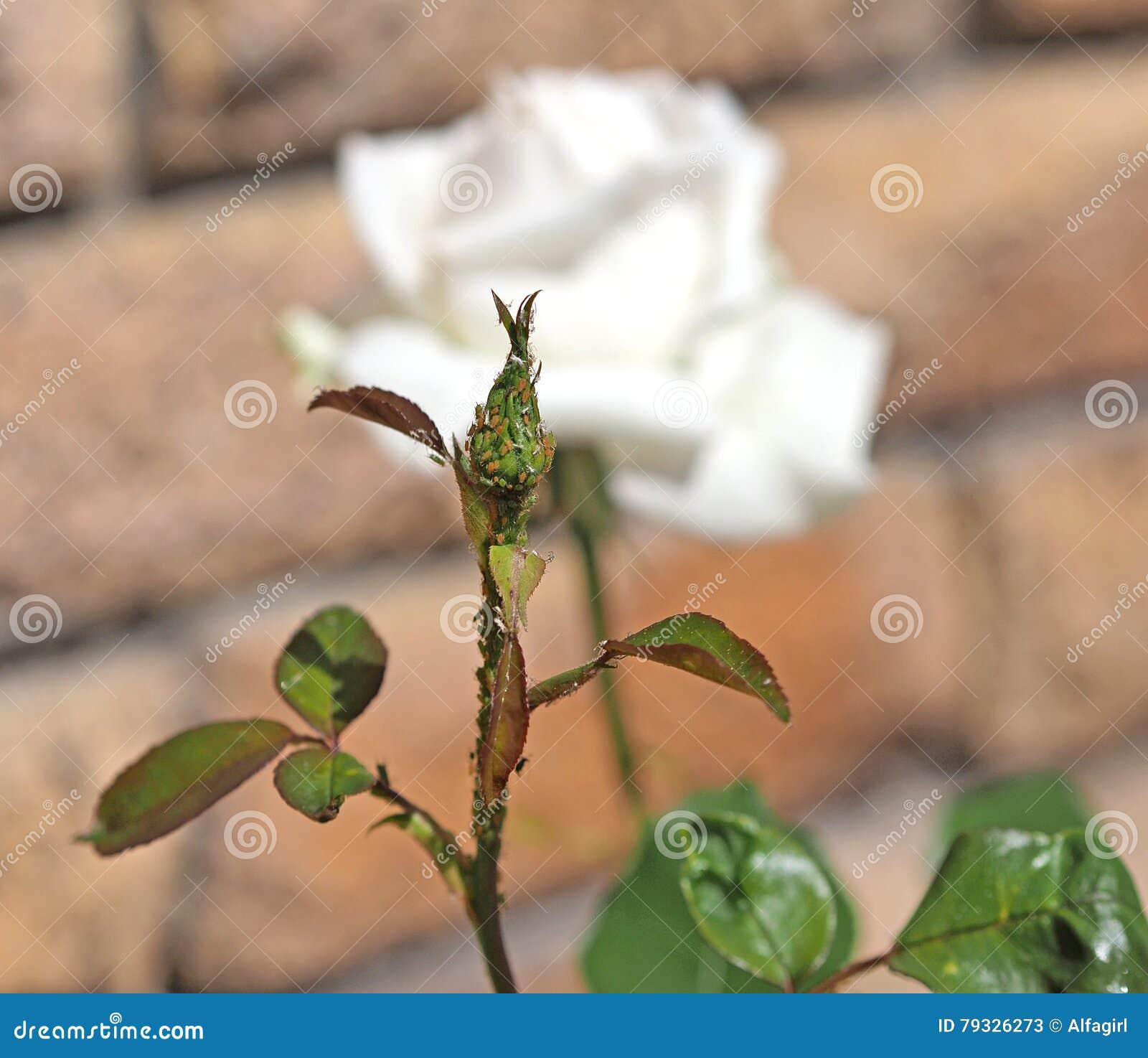 Combattere Afidi Delle Rose afidi su un germoglio della rosa immagine stock - immagine