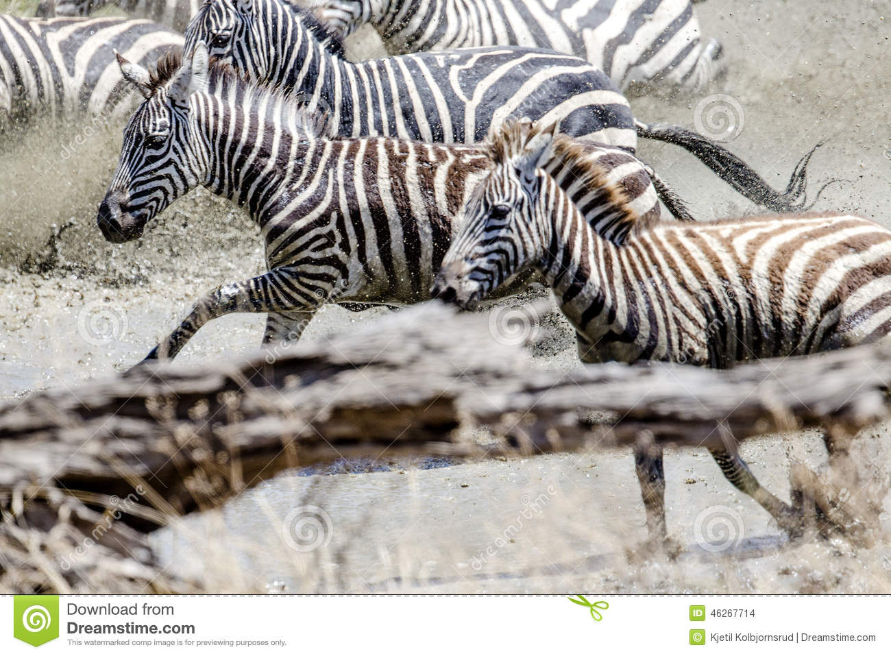 zebras running from predator - photo #13