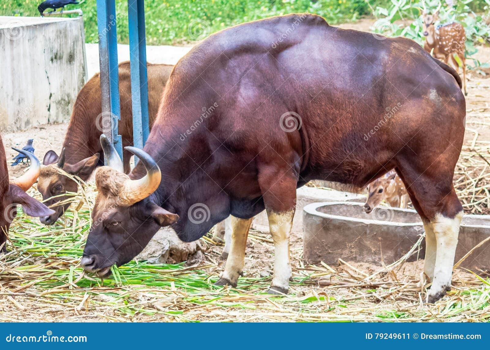Afrian bizonu pasanie
